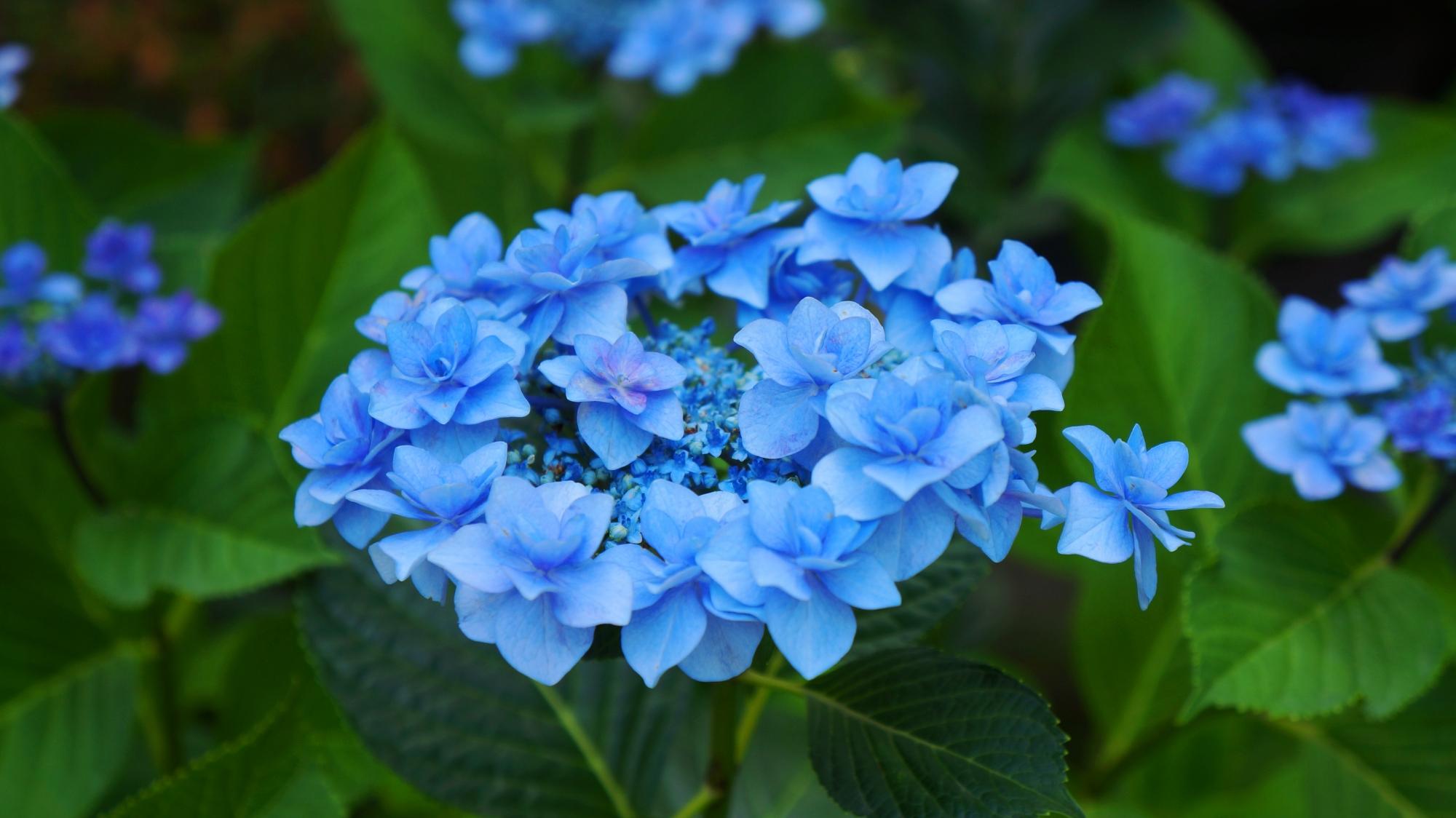 緑の葉の上で華やぐアジサイの青い花びら