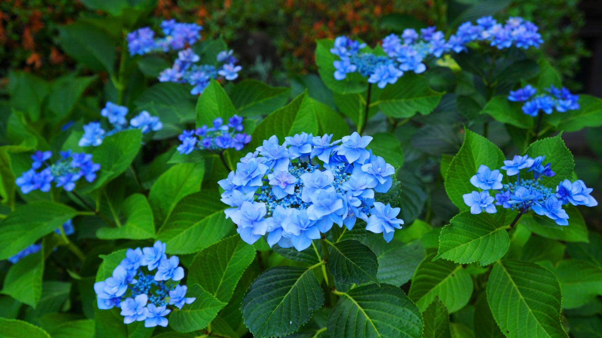 藤森神社の爽やかなブルーの額紫陽花
