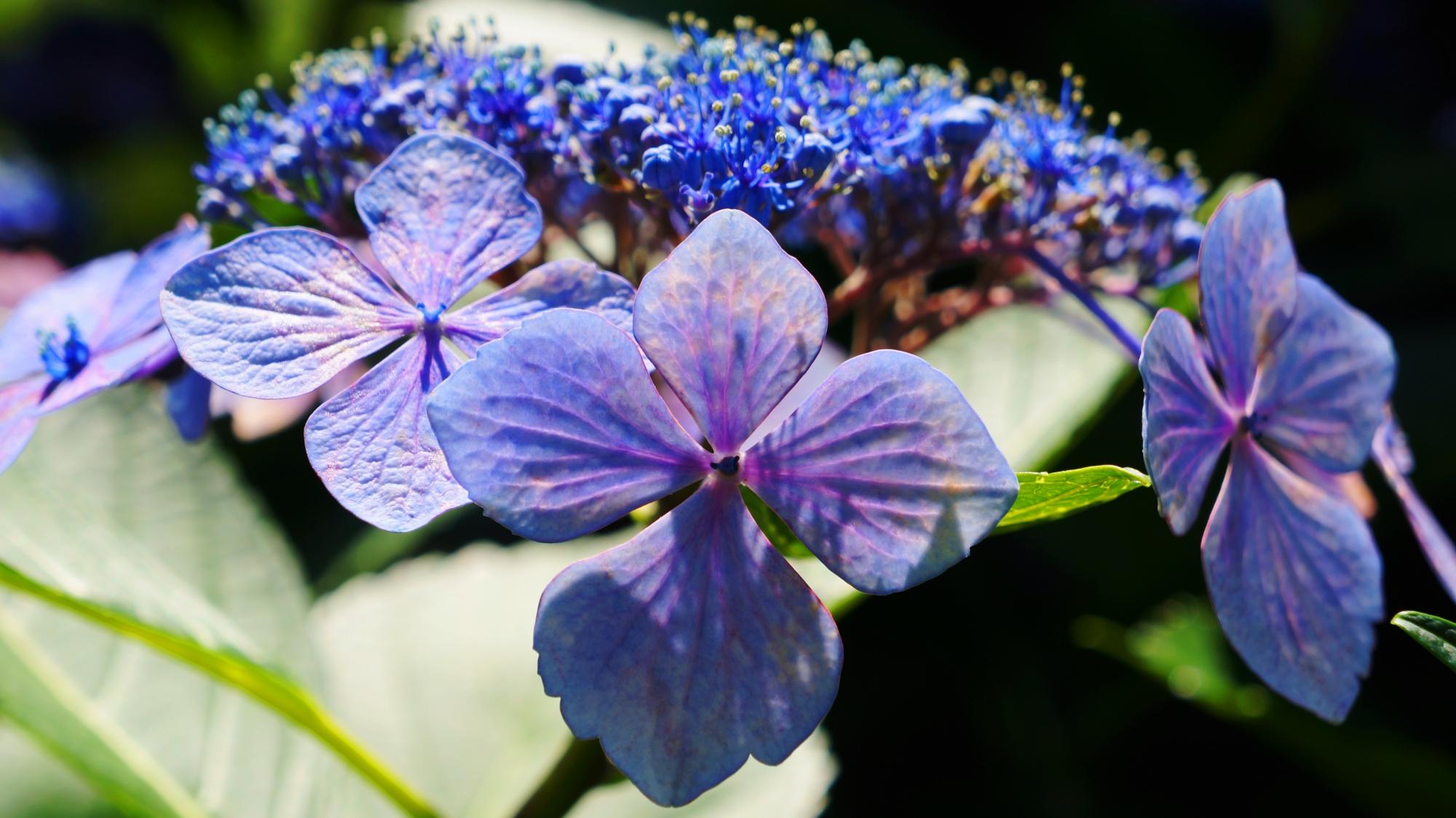 太陽を浴びて花びらが透ける紫の額紫陽花