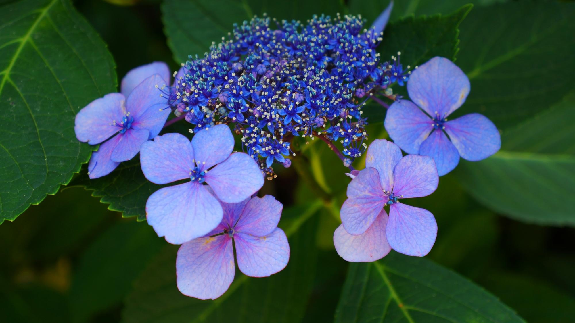 華やかさと風情を併せ持った額紫陽花