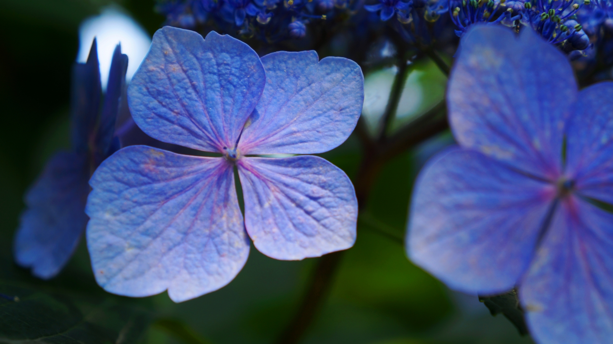高画質 写真 藤森神社 紫陽花