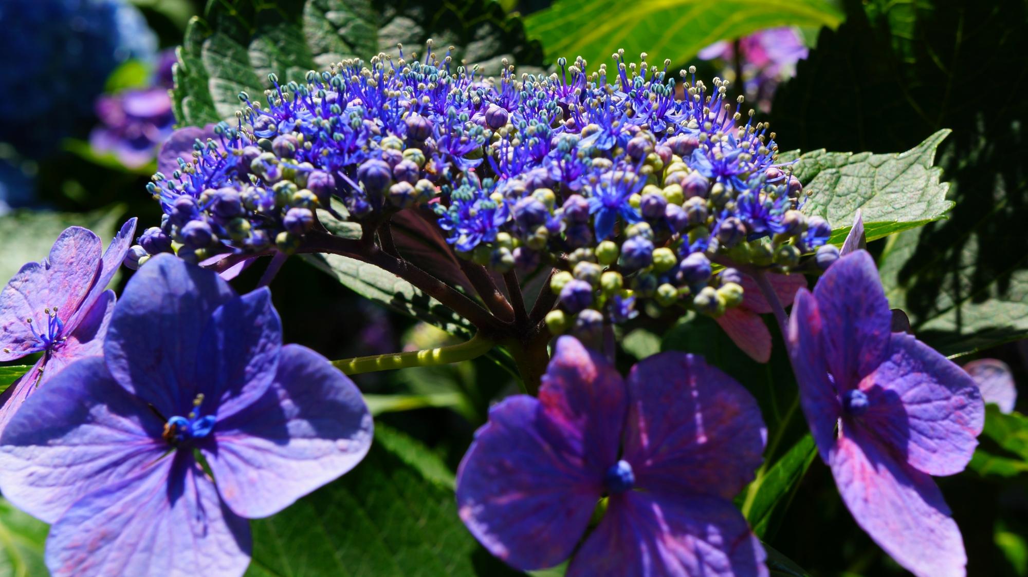 藤森神社の煌く紫の額紫陽花