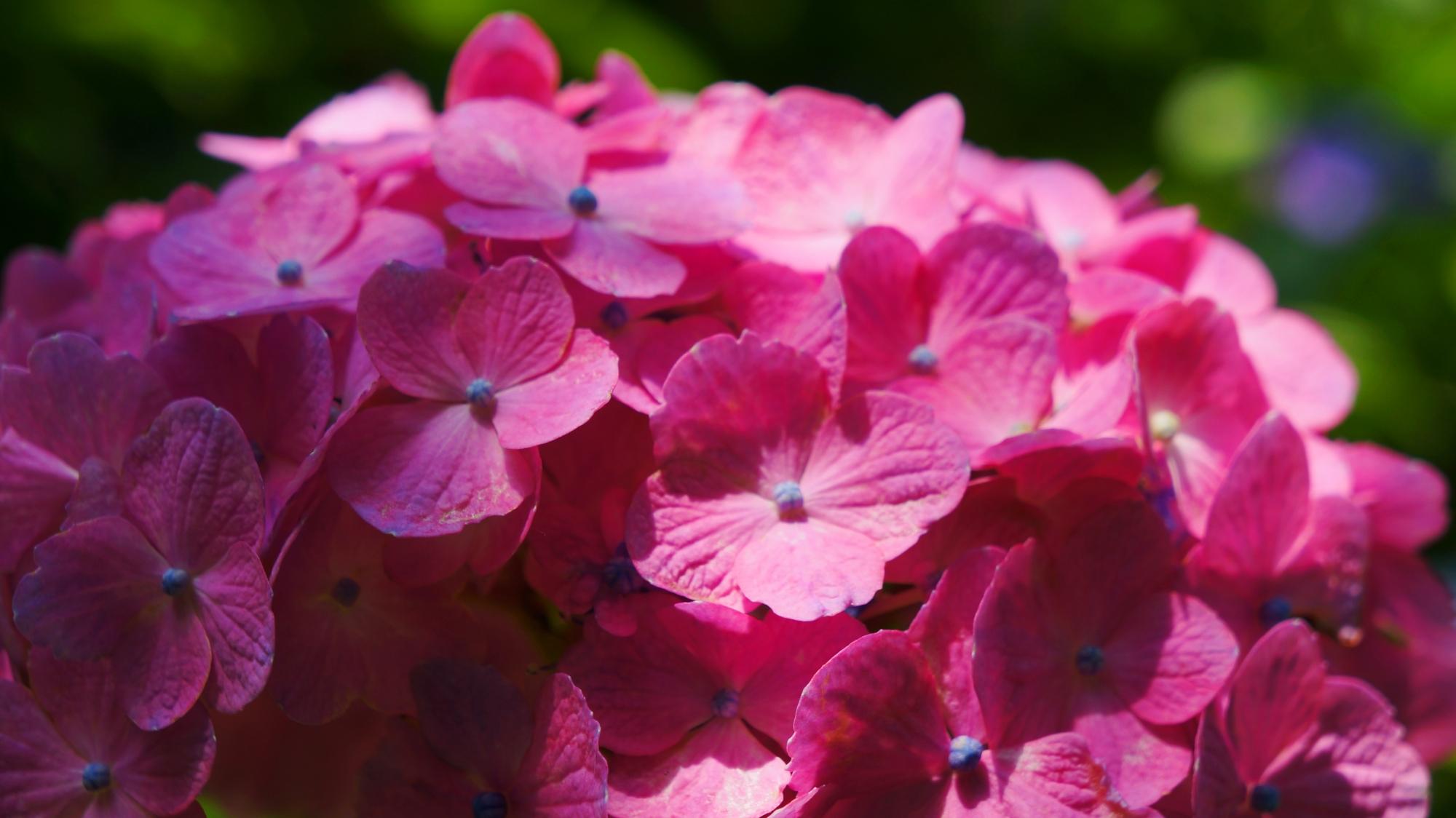 光と影が演出する藤森神社の美しい紫陽花
