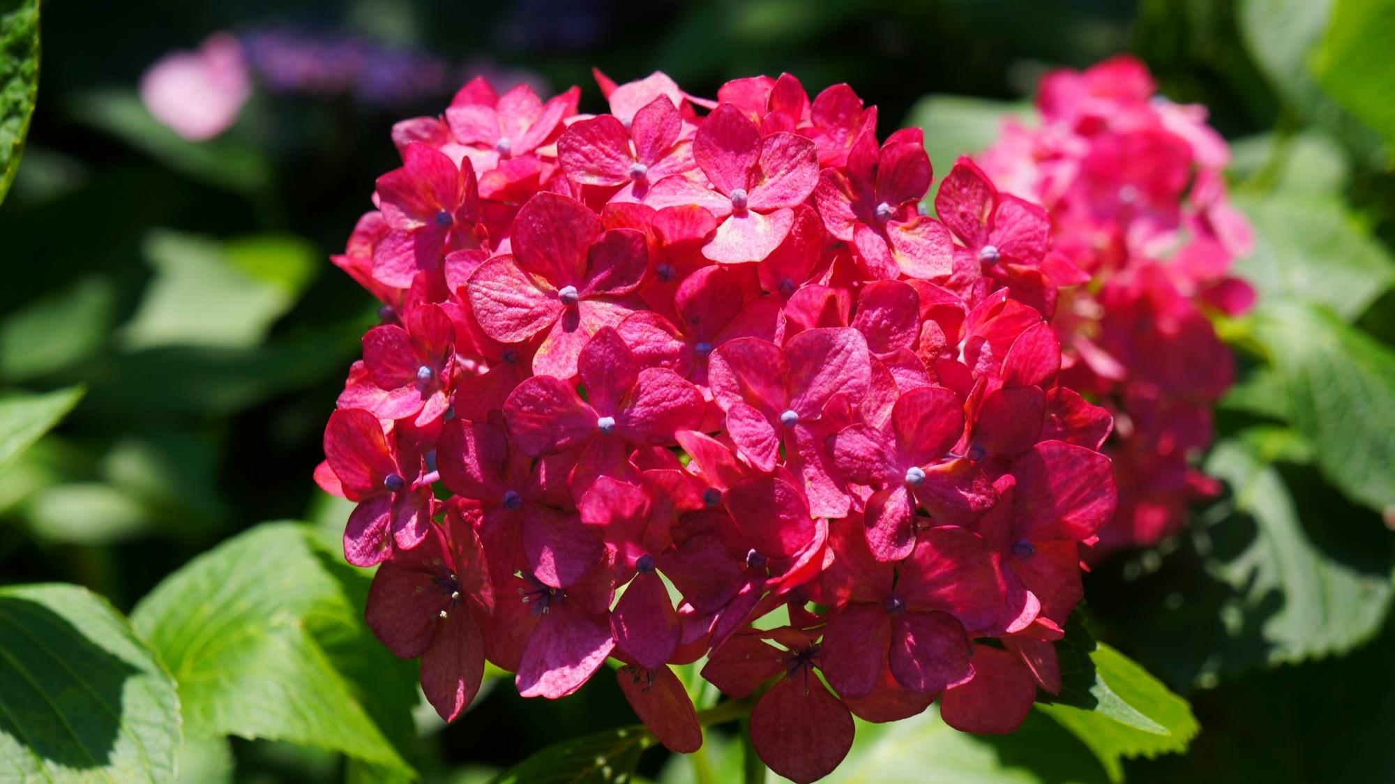 赤に近いビビッドなピンクの輝く紫陽花