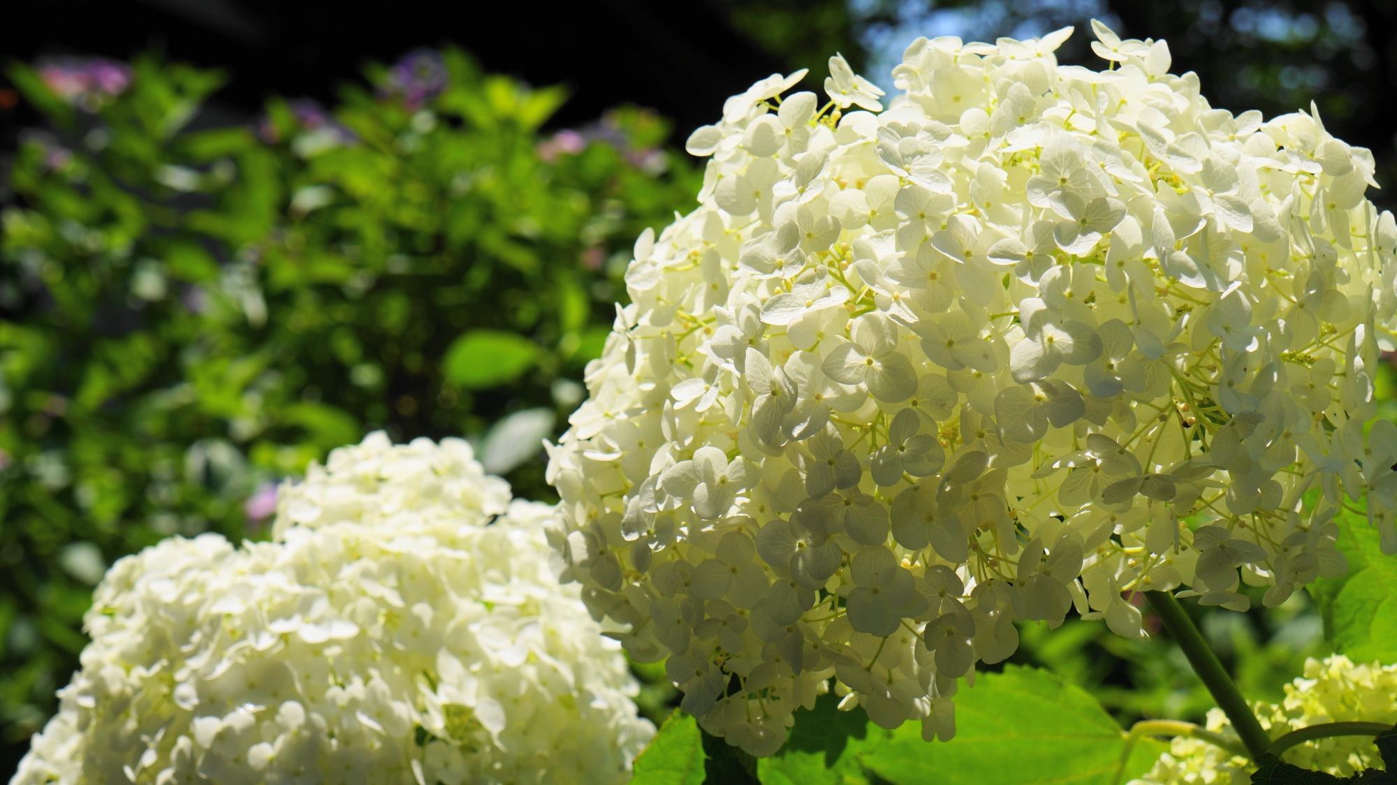 輝く爽やかな白い紫陽花