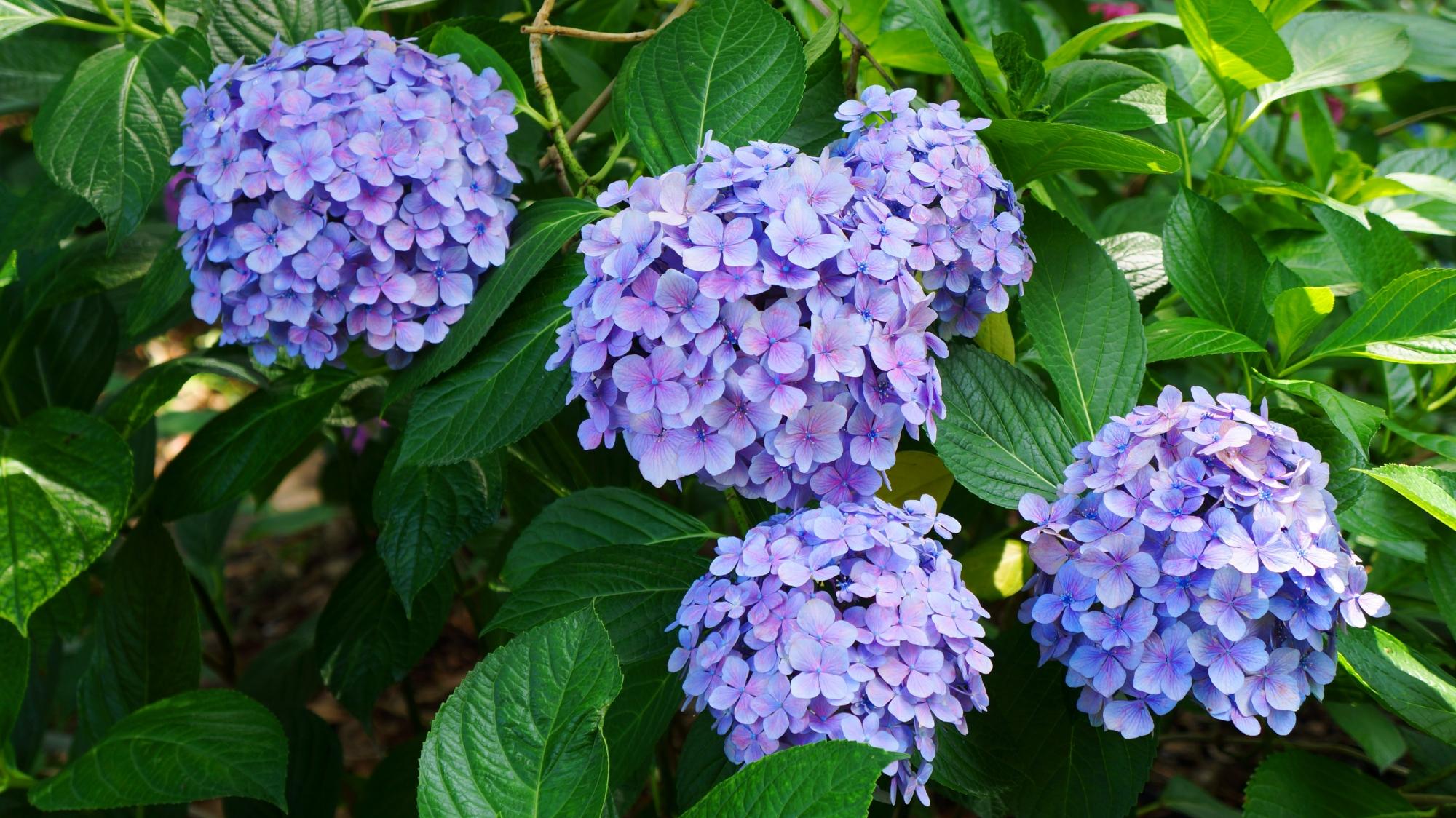 淡い紫色のしっとりとした雰囲気の紫陽花