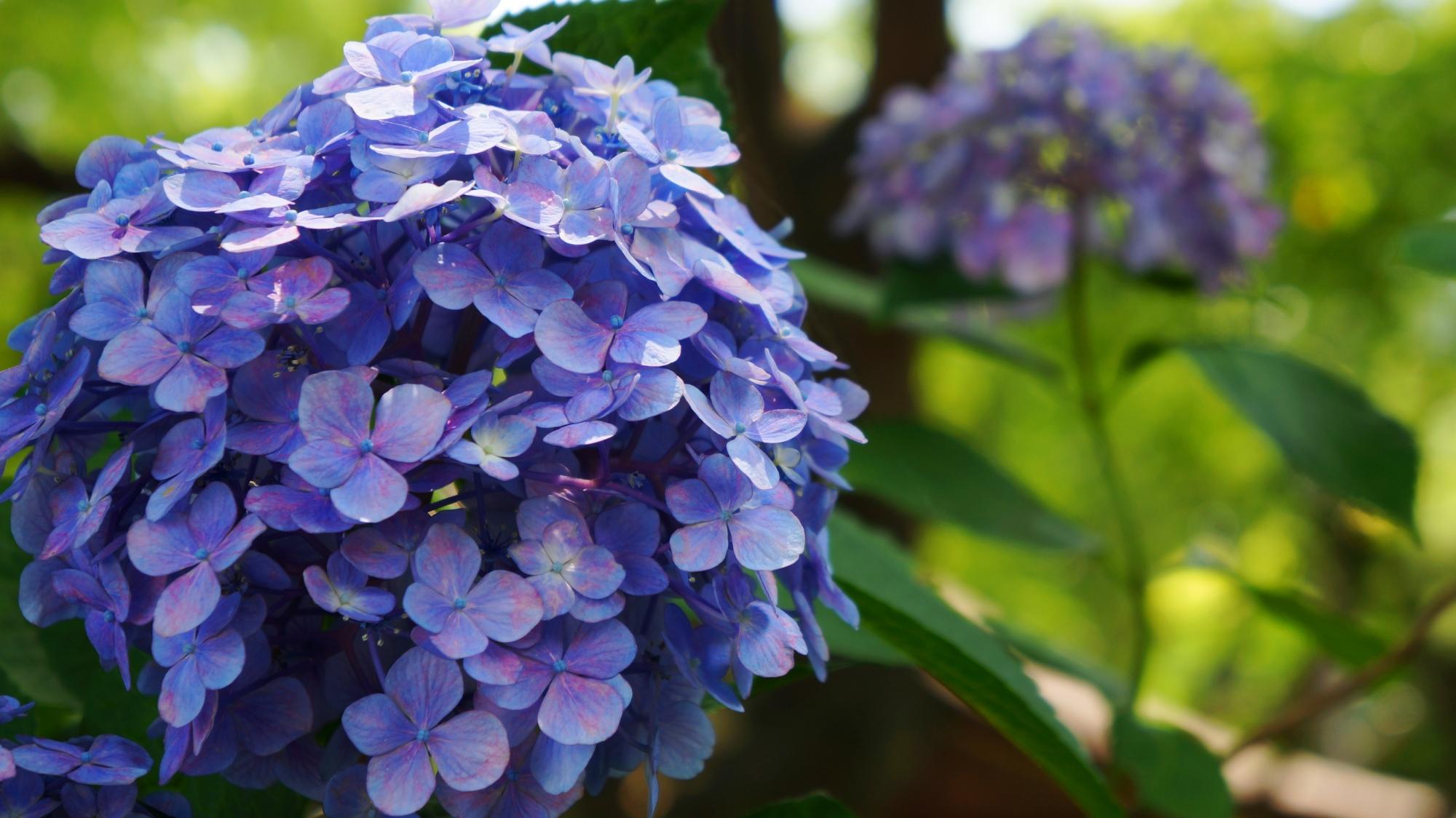 藤森神社の素晴らしい紫陽花と初夏の彩り