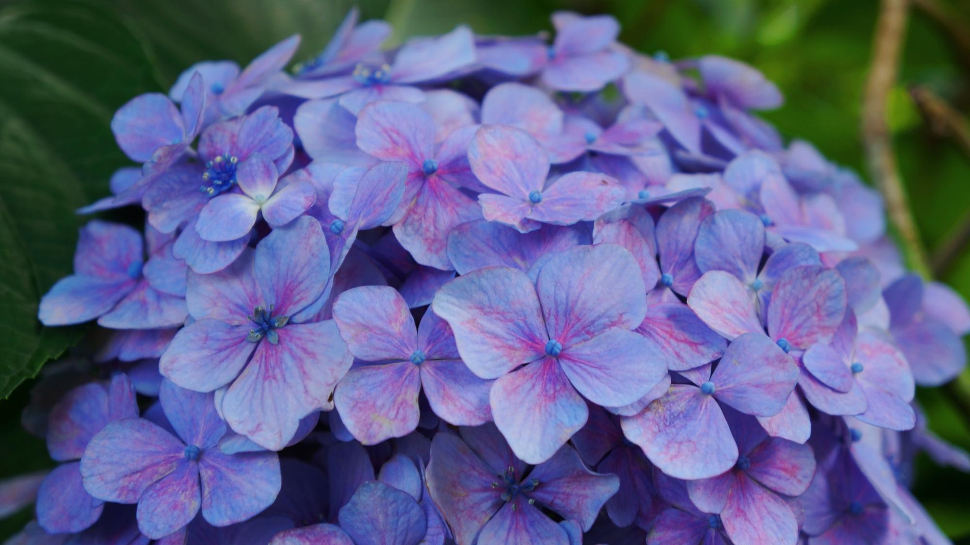 アジサイの重なり合う繊細な花びら