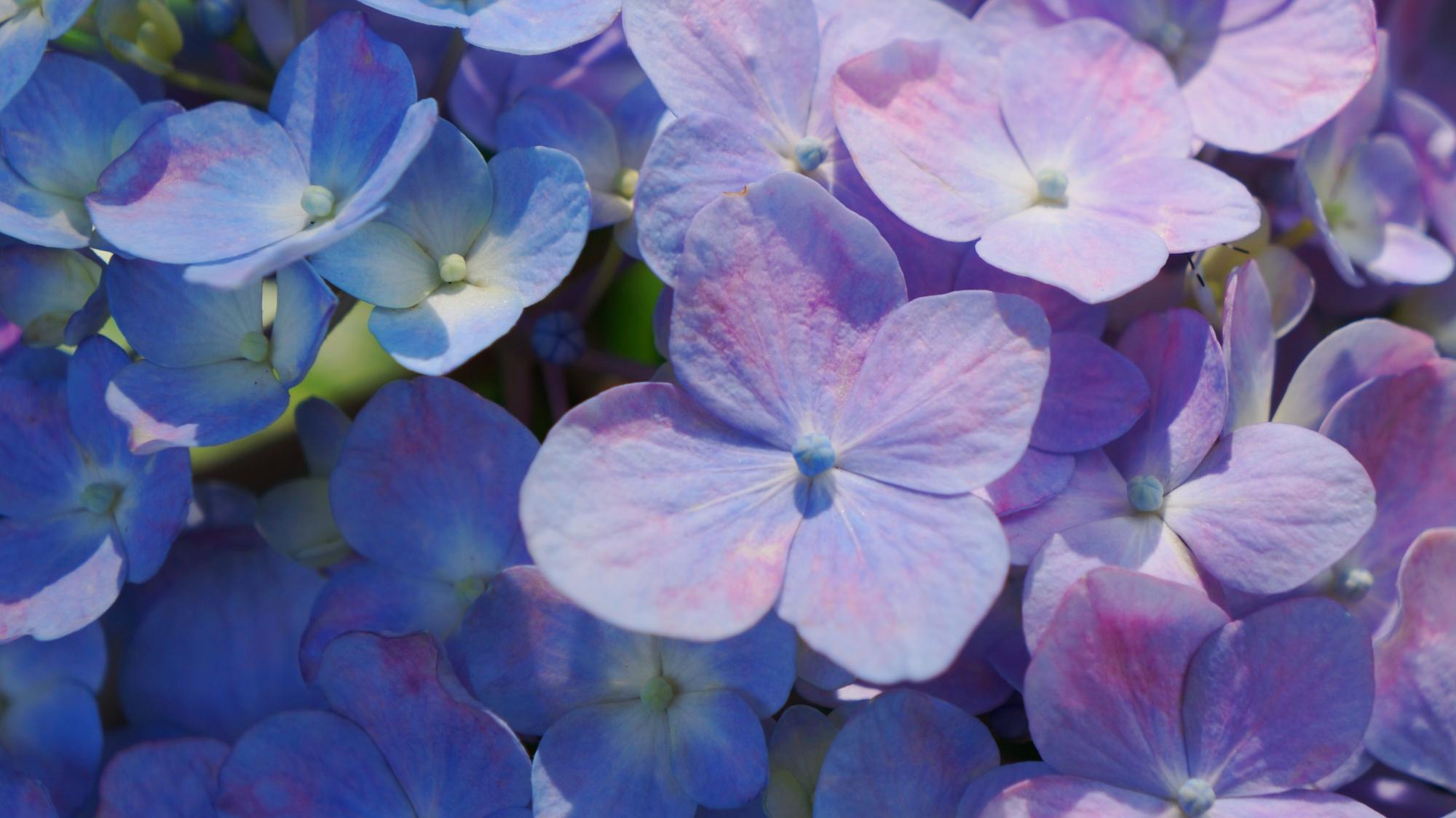 藤森神社 紫陽花 華やかな伏見のあじさい祭り