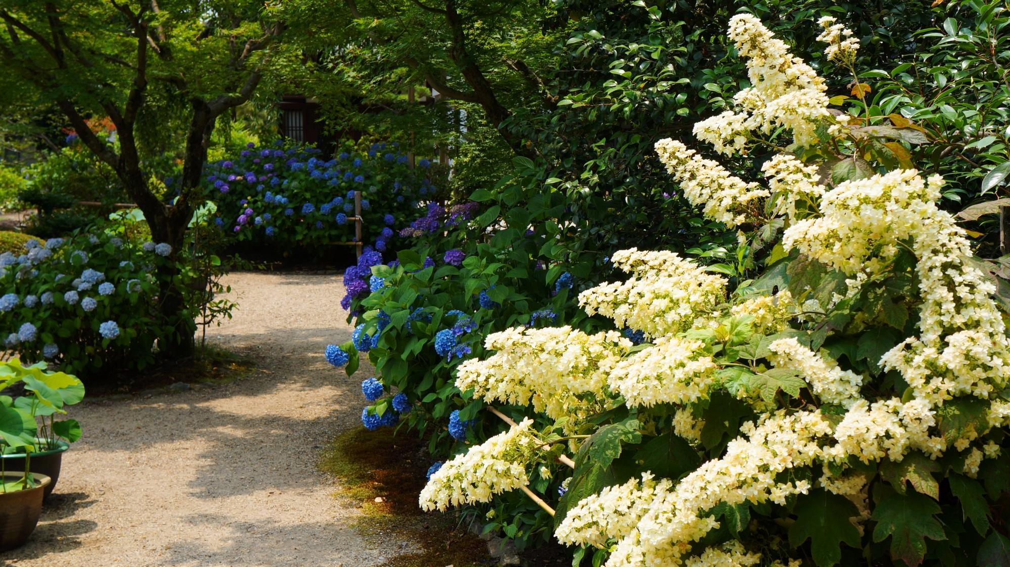 法金剛院 紫陽花 街中にある花の寺の初夏の彩り