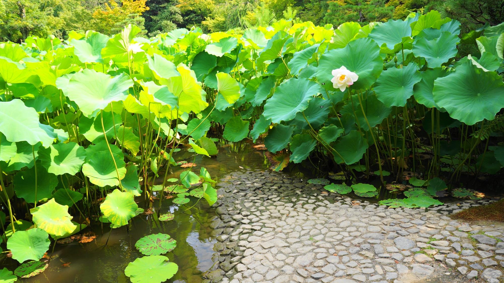 蓮の花が見ごろをむかえた法金剛院の庭園の苑池や蓮鉢