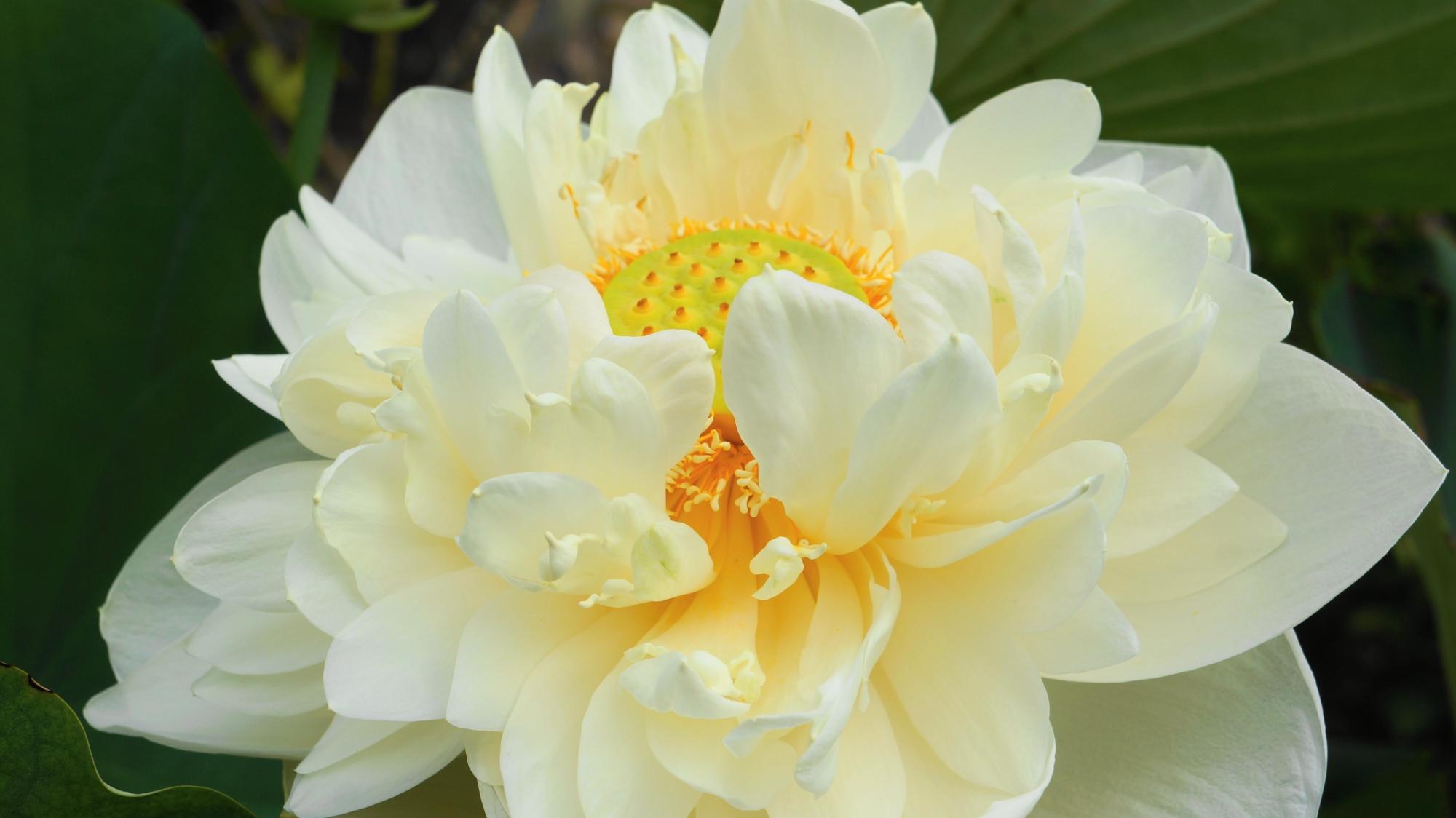 法金剛院の花びらをいっぱいつけた淡い色合いの白い蓮の花
