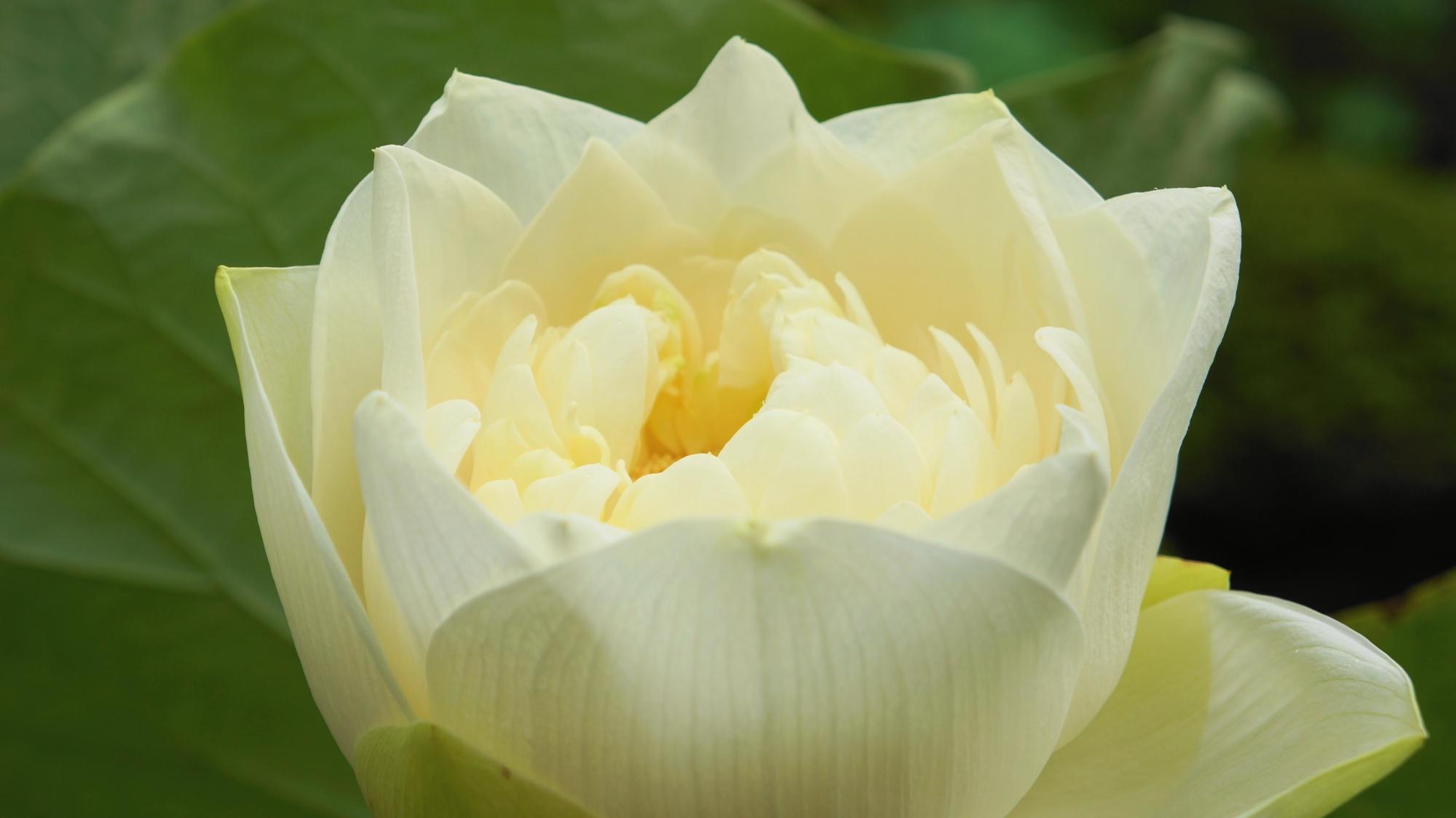 ややクリーム色がかったバラの花みたいな白い蓮の花