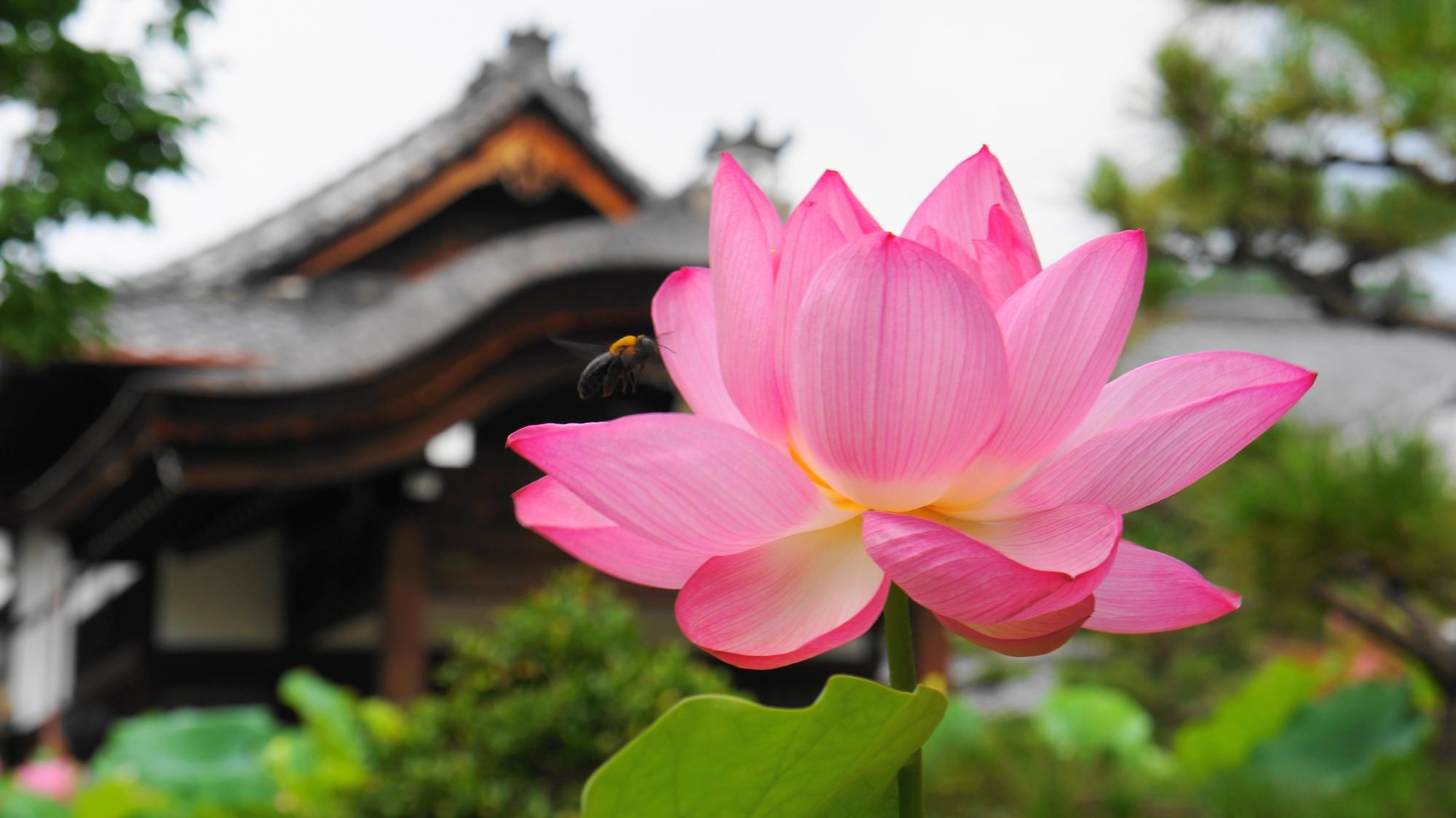 法金剛院独特の伽藍を背景にした絵になる蓮の花