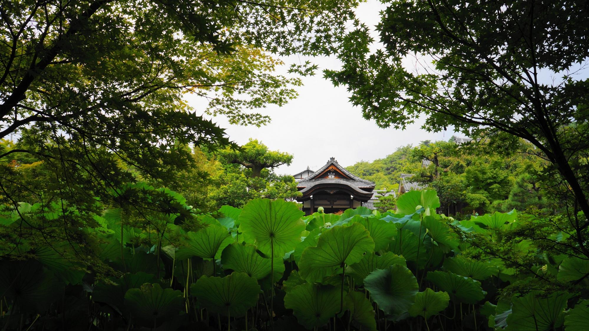 深い緑の青もみじや蓮の葉につつまれる庫裡大玄関
