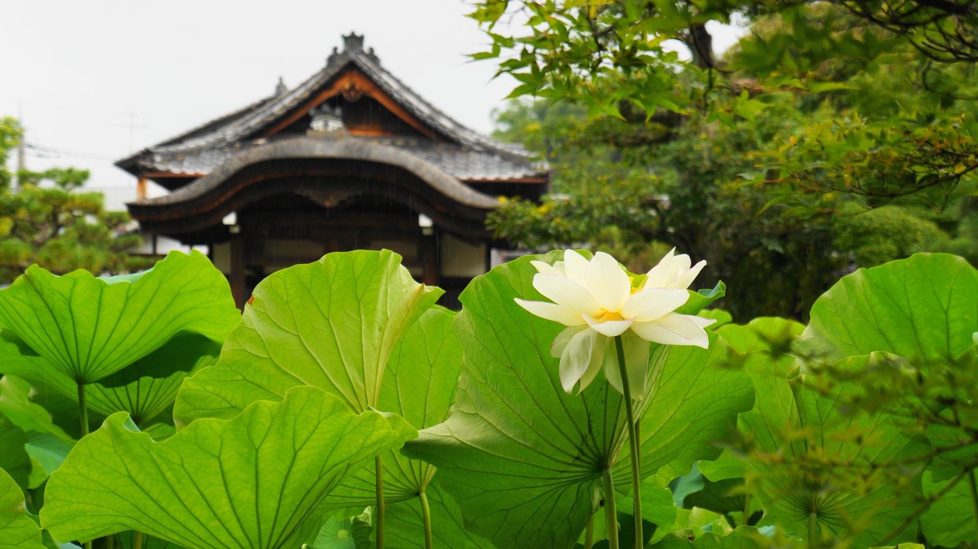 法金剛院の庫裡大玄関を背景にした蓮の緑の葉と白い花