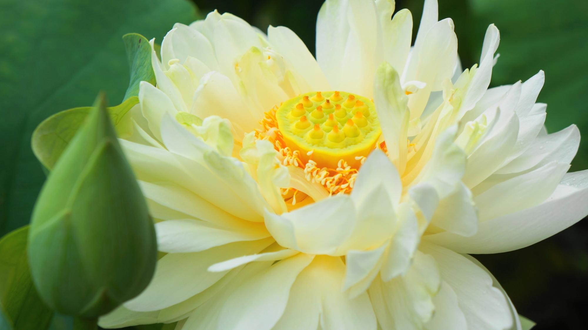 白い花びらが溢れ出す法金剛院の満開の蓮の花