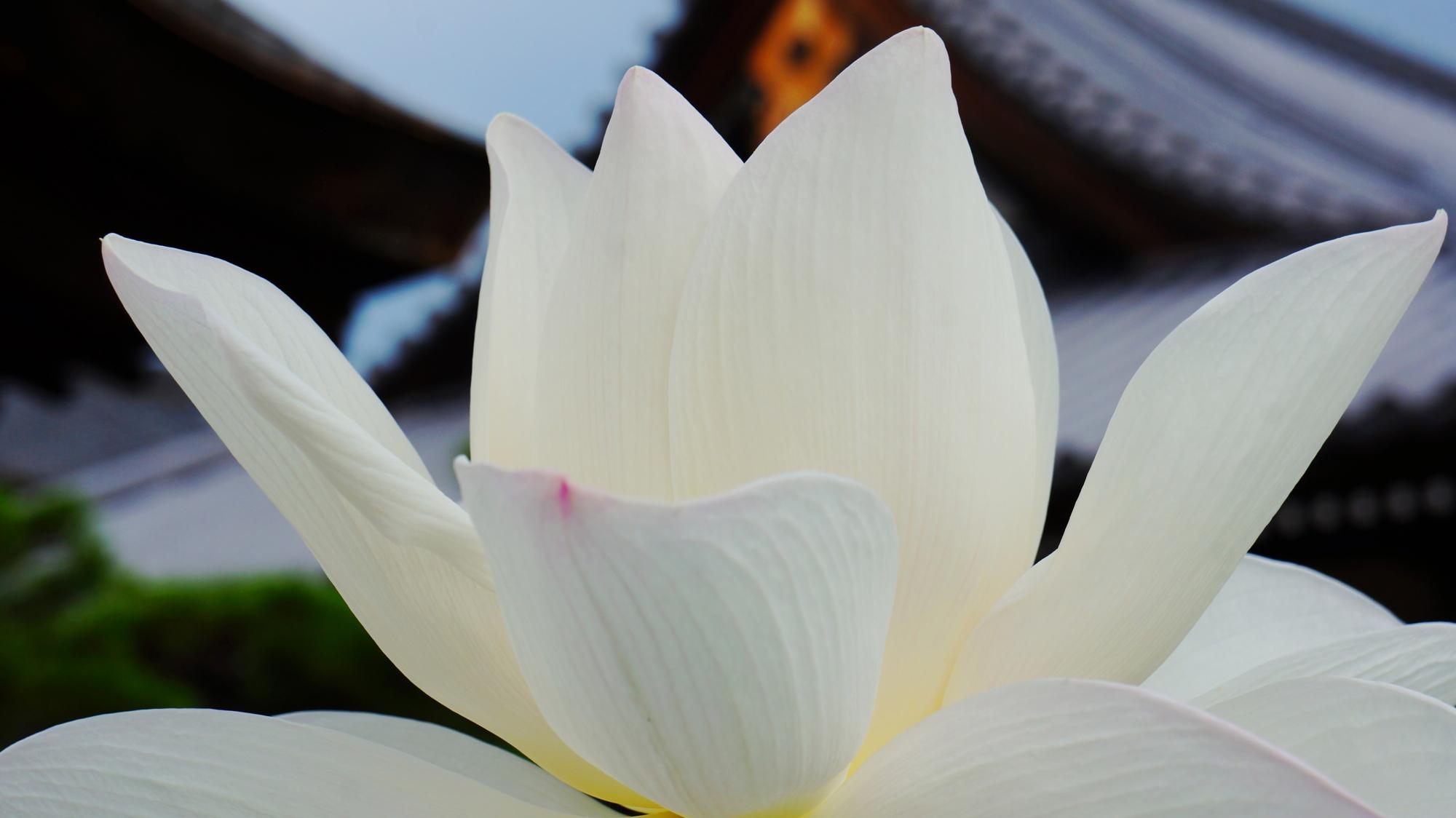 法金剛院の礼堂を真っ白に染める純白の蓮の花