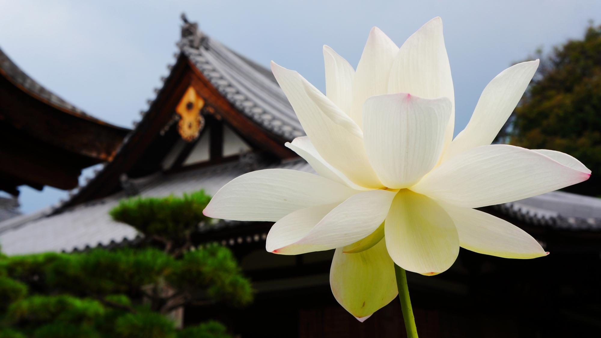 法金剛院の礼堂を背景にした花びらをいっぱいに広げる白い蓮の花