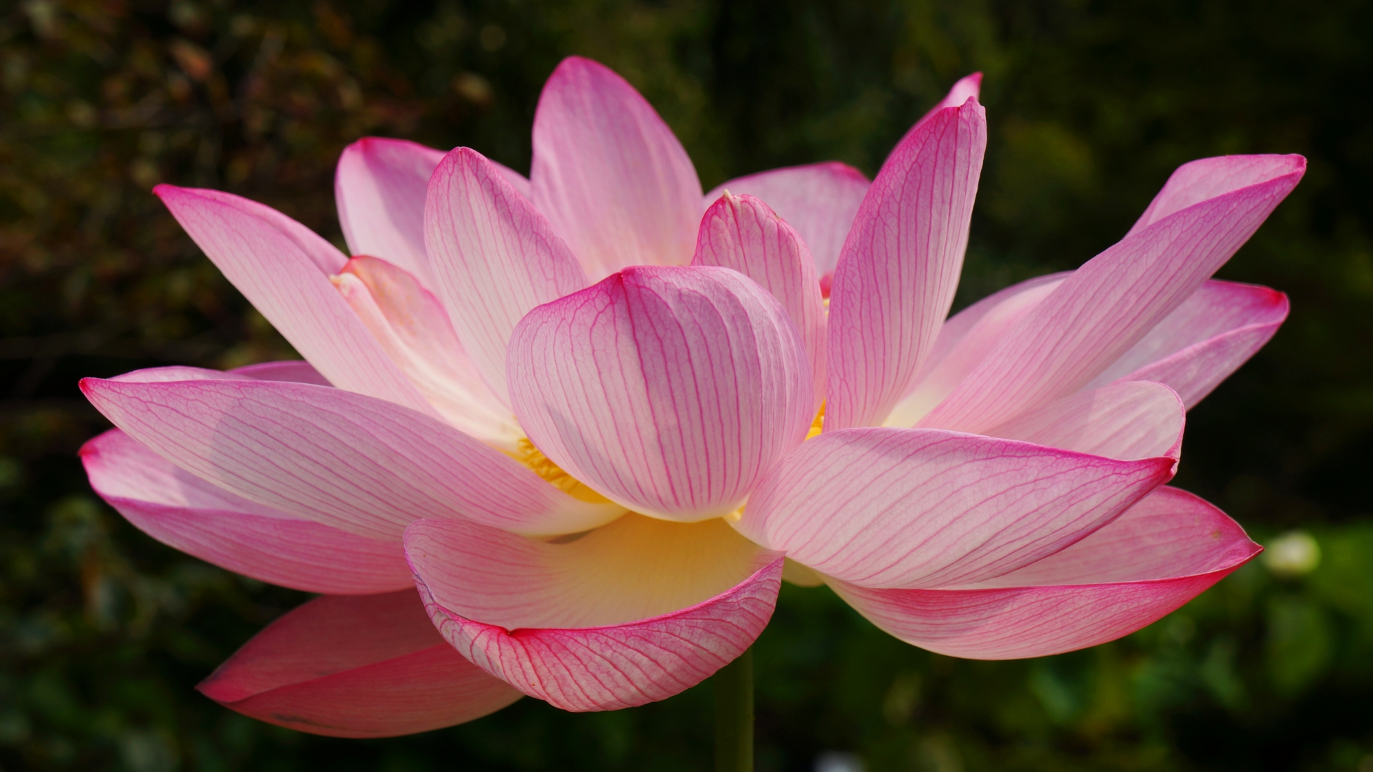 日が差して淡く輝く法金剛院の蓮の花びら