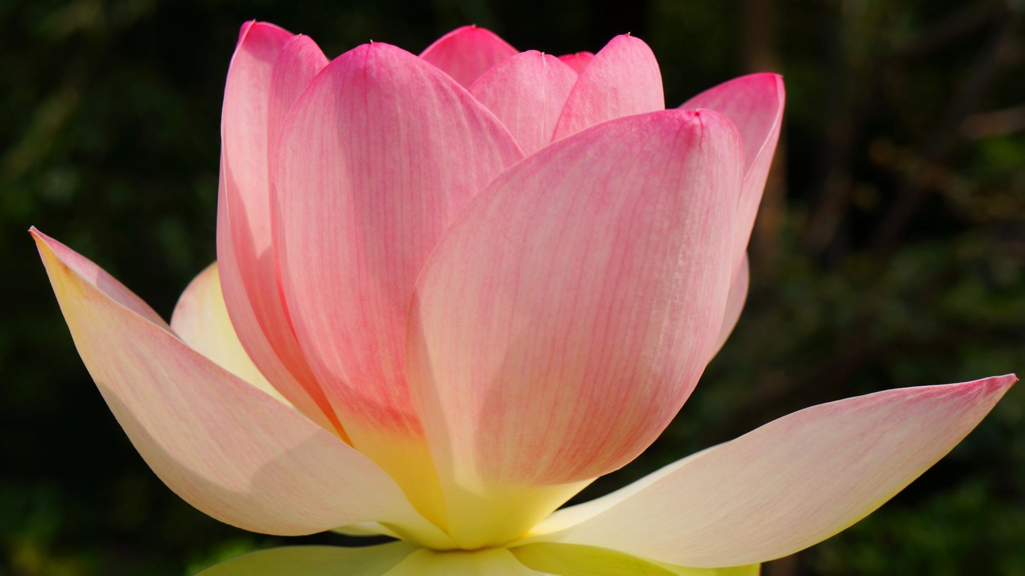 太陽を浴びる法金剛院のほのかに浮かび上がるような蓮の花
