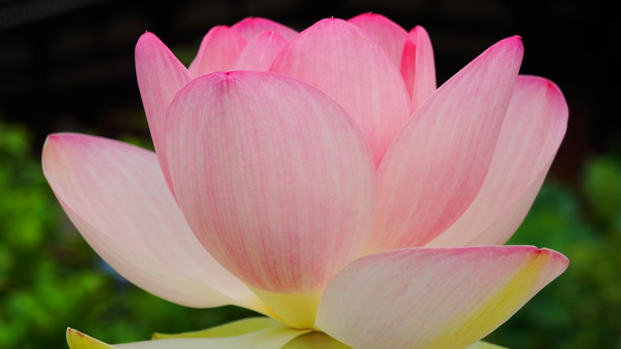 法金剛院の絶妙な色合いの淡いピンクの蓮の花