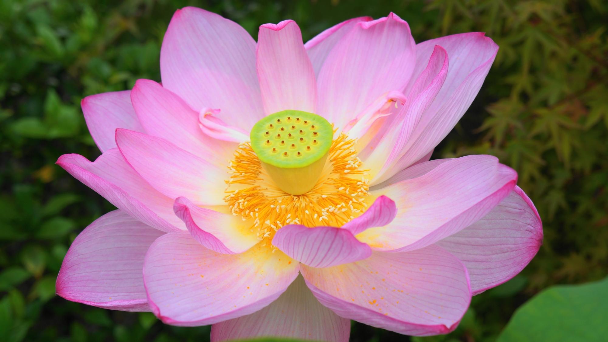 法金剛院の多様な緑を背景に咲き誇るピンクの蓮の花