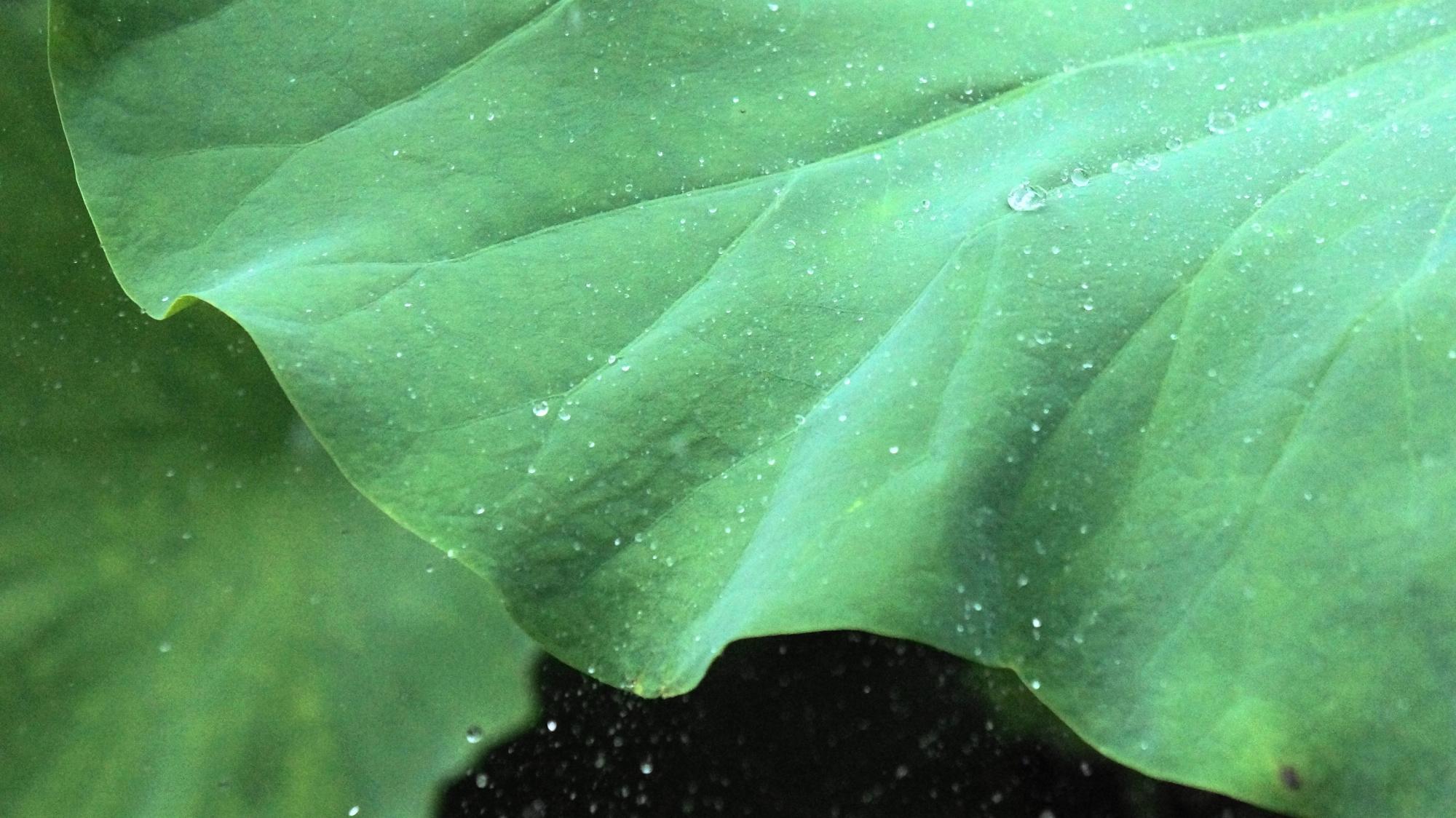 蓮の葉の上で踊る法金剛院の雨水