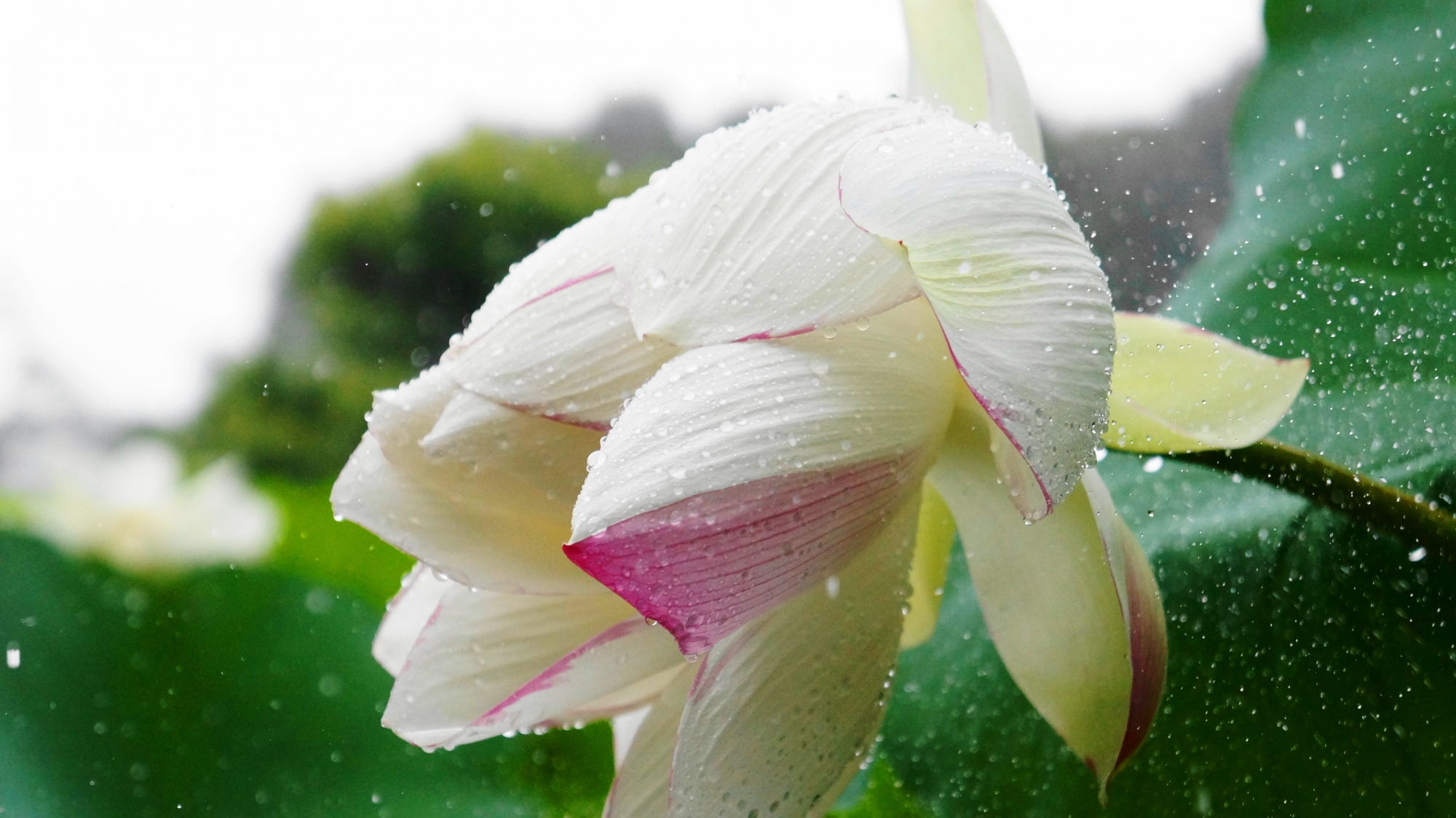 雨が強くあたる法金剛院の蓮の花