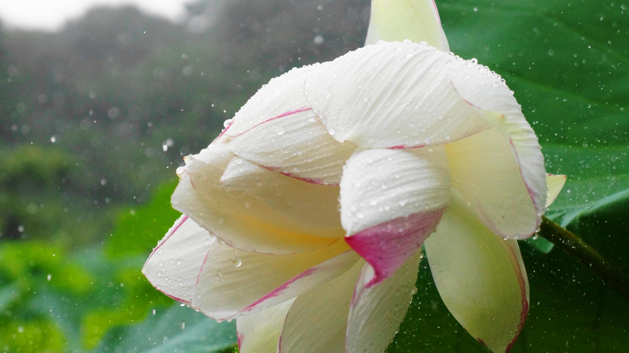 ハスの花に強く当たり弾け飛ぶ雨水