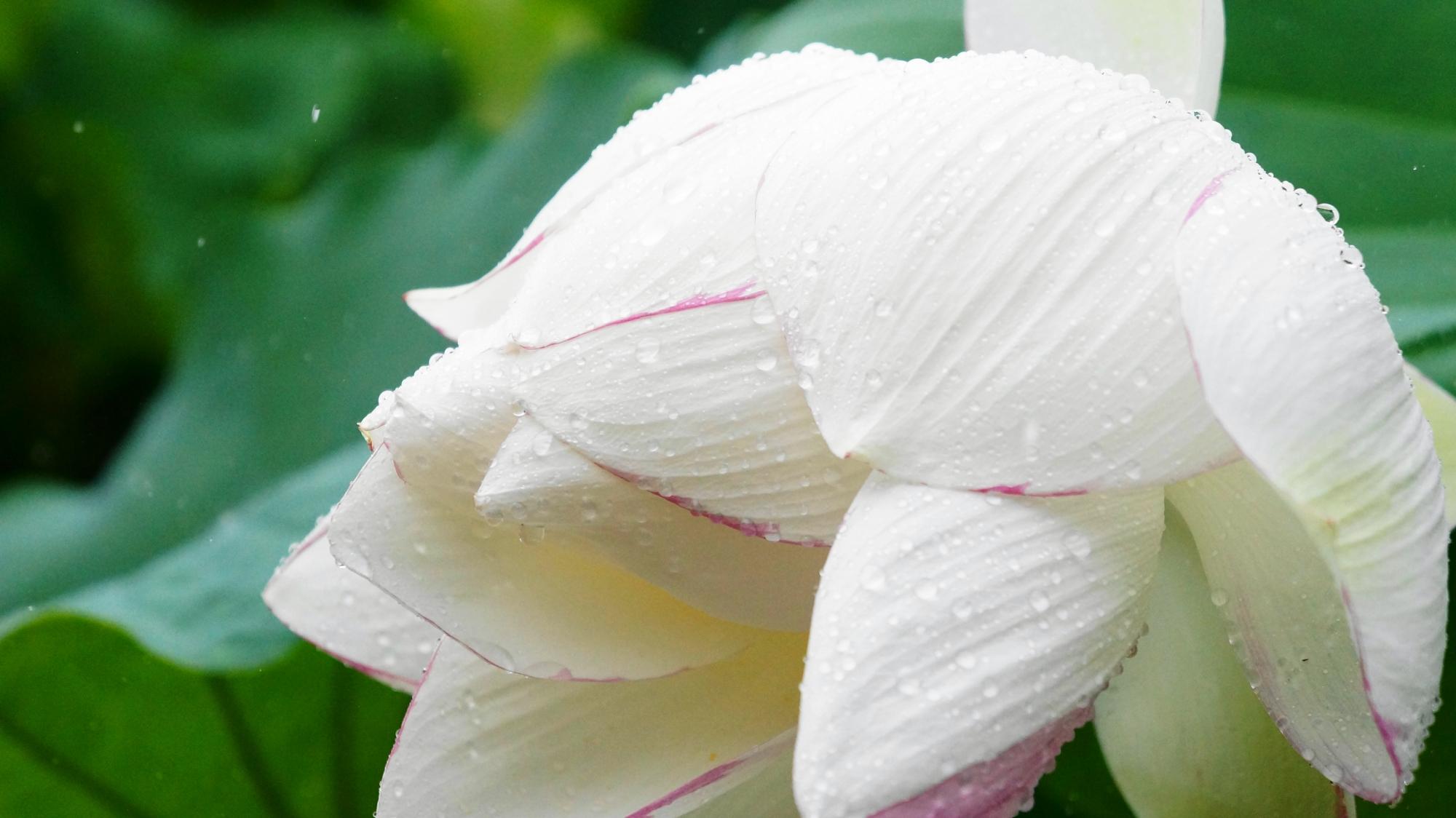 雨水に濡れる真っ白な大きな法金剛院の蓮の花びら