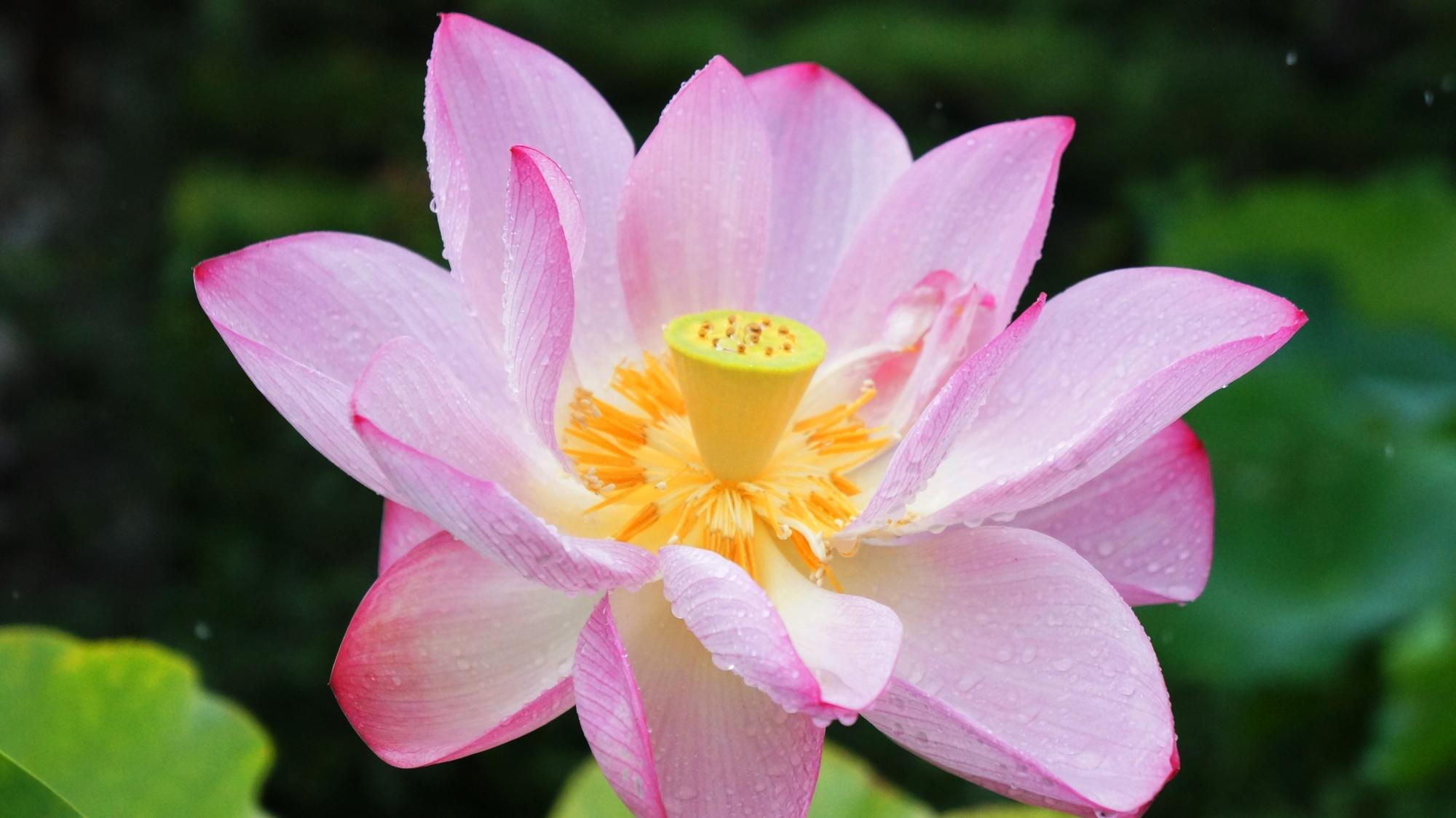 雨に濡れる法金剛院の蓮の花