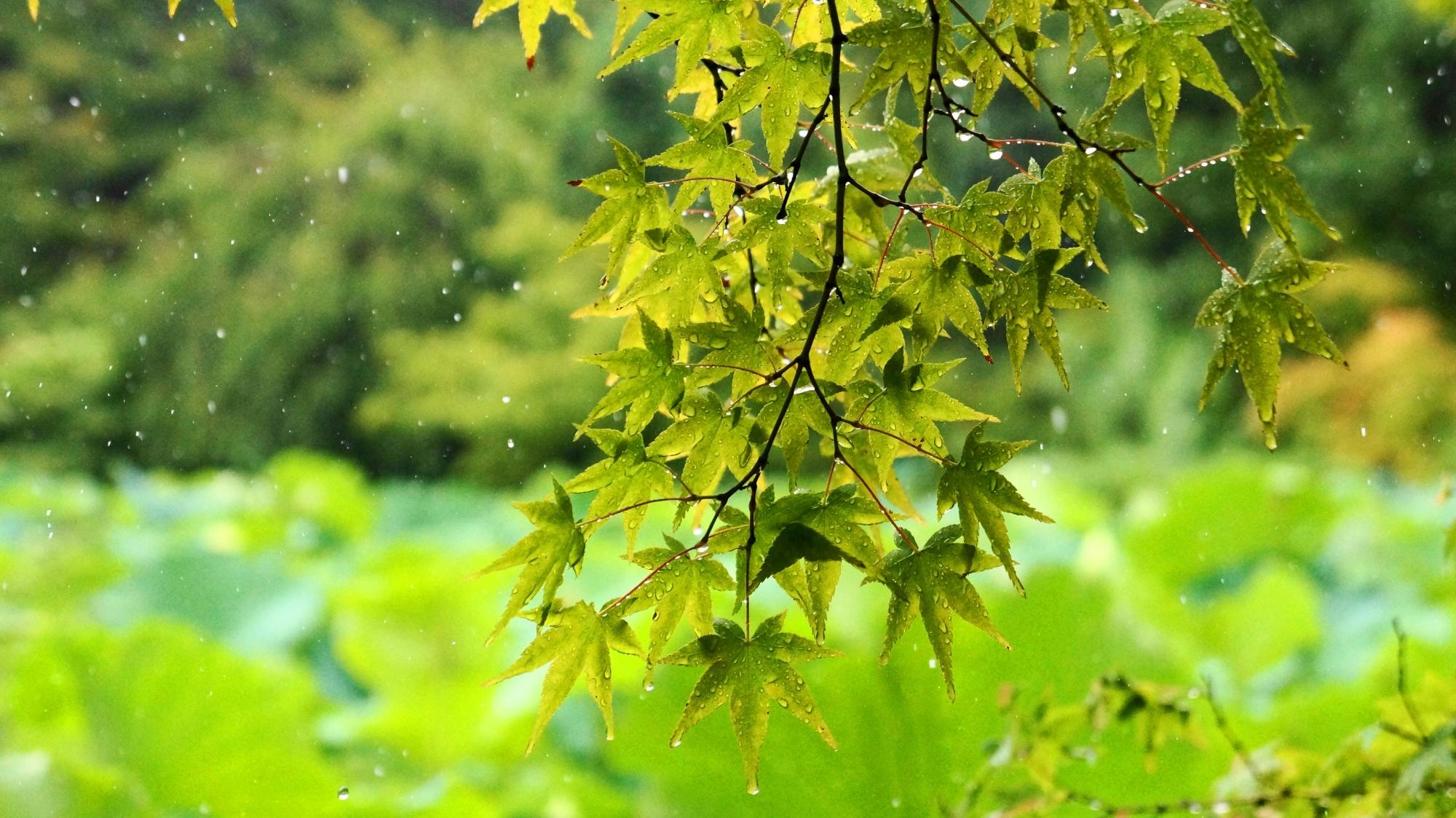 法金剛院の雨水に打たれる夏の青もみじ