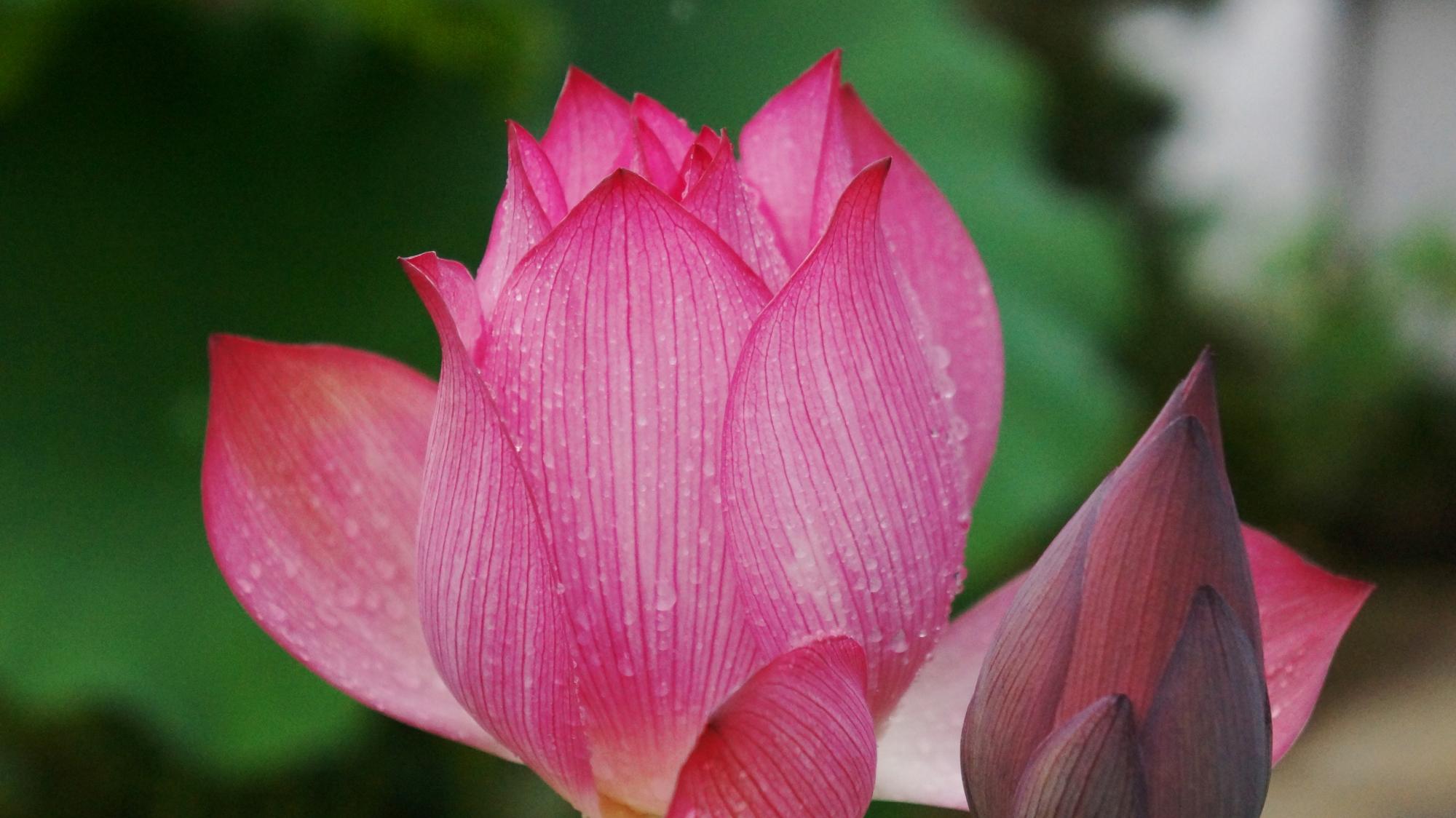法金剛院の雨に濡れて輝くようなピンクの蓮の花