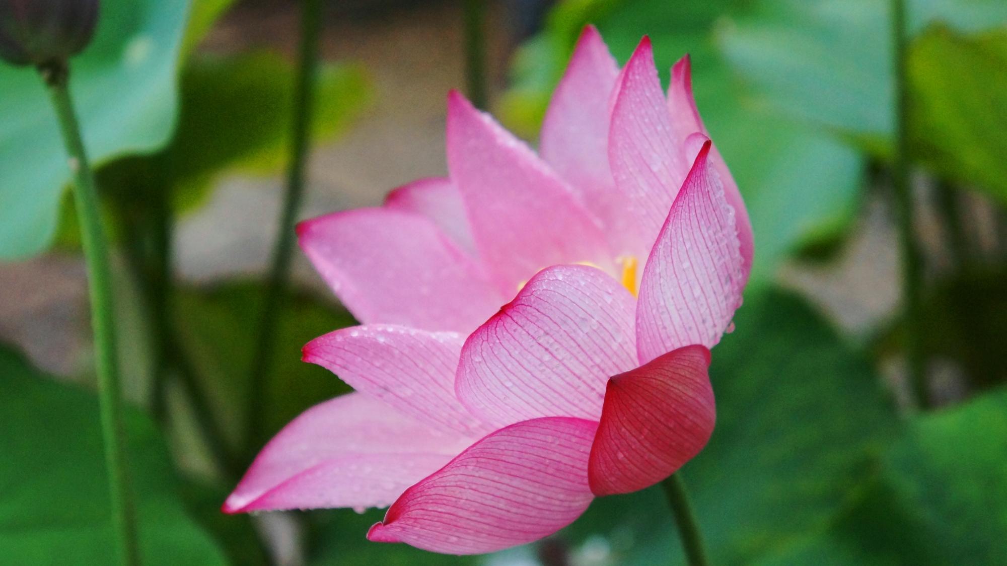 雨に濡れてほのかに光るようなピンクの蓮の花