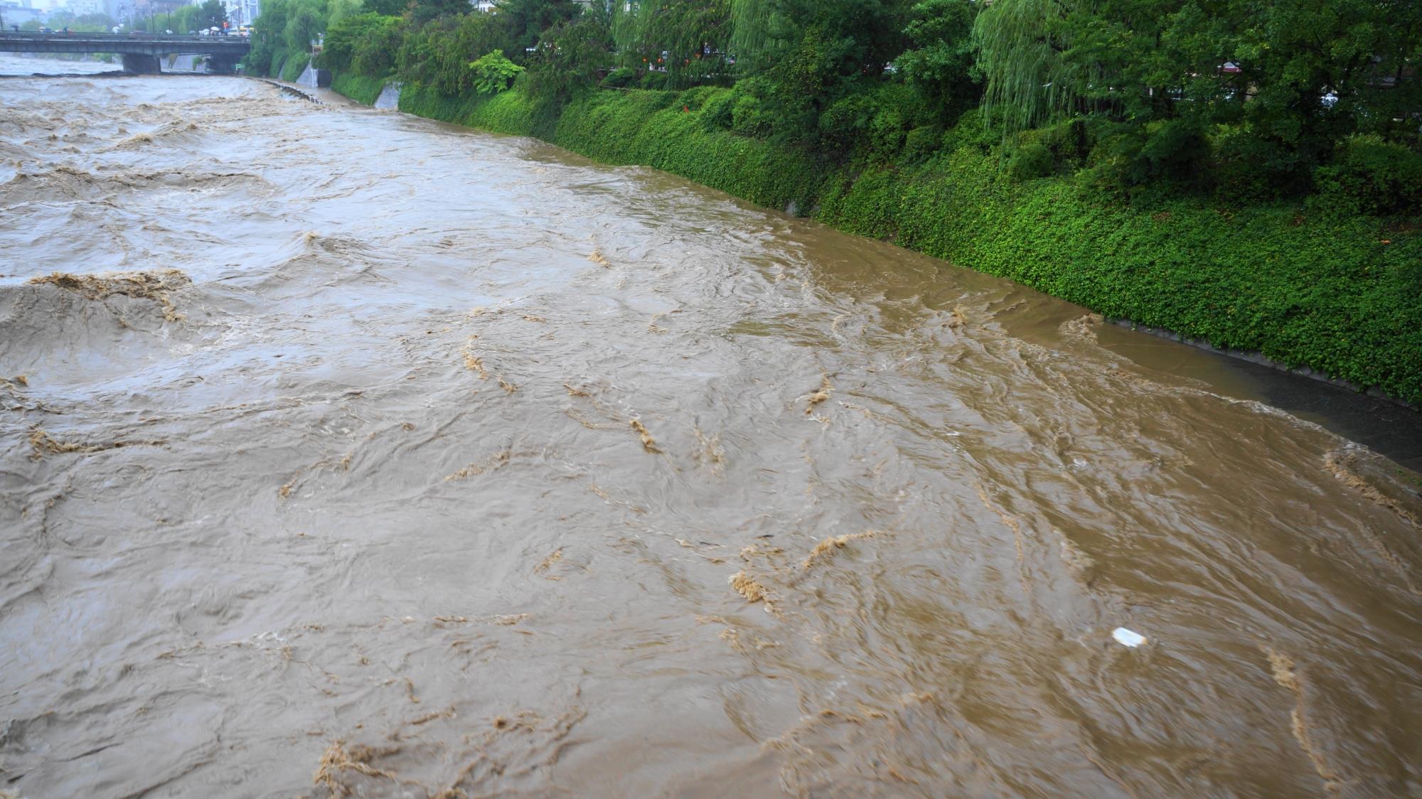 水位が上がり緑の植物も水に浸かってしまっている濁流の鴨川