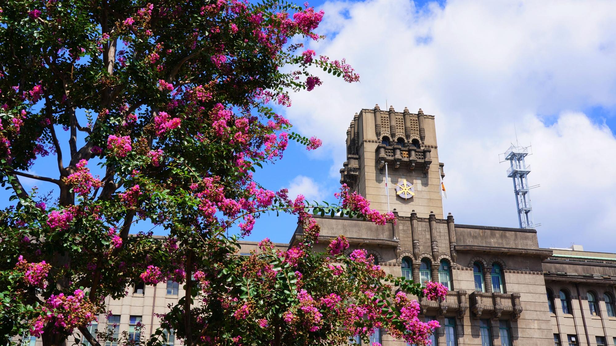 レトロな建物である京都市役所を華やぐ夏の鮮やかなサルスベリの花