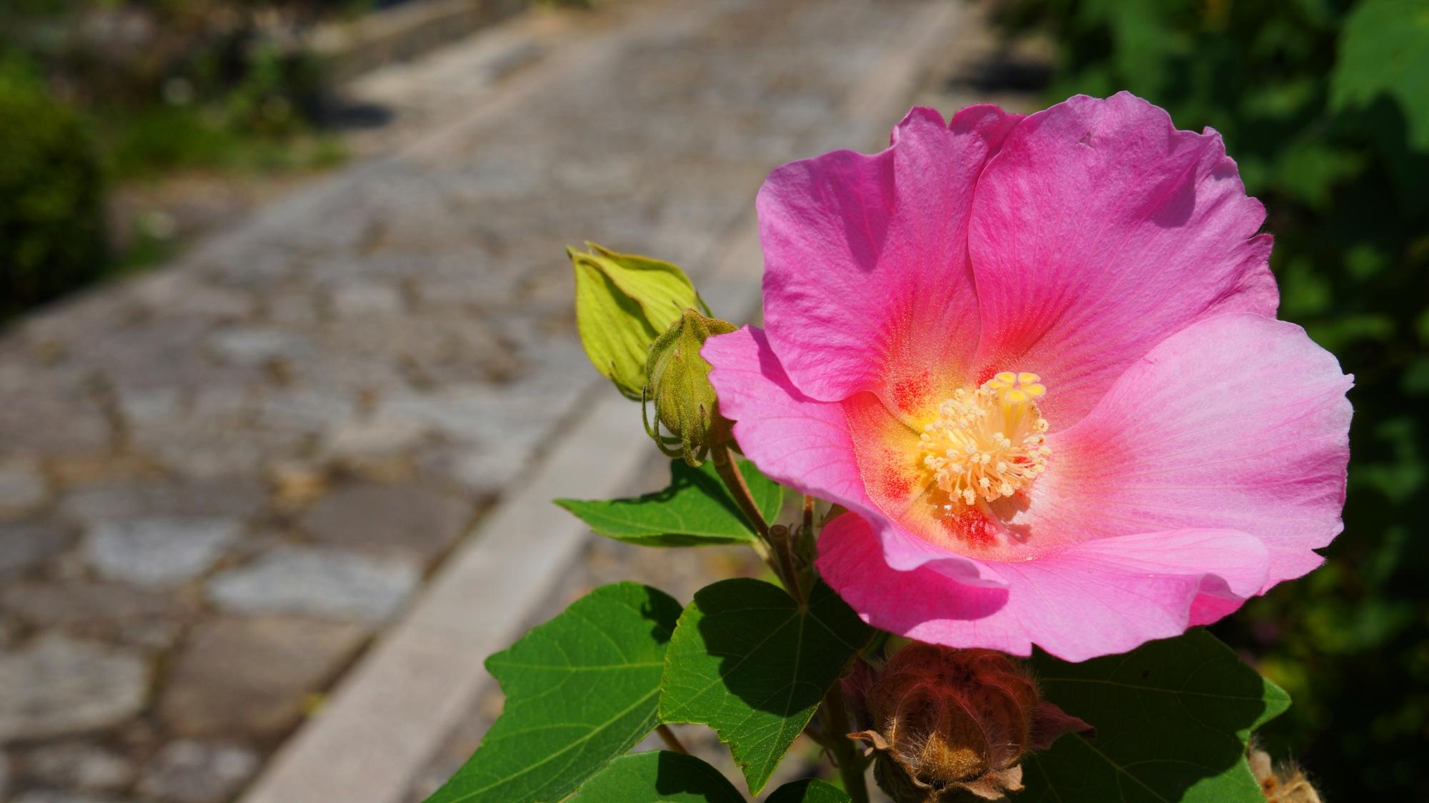 法輪寺石の参道を彩る華やかなピンクの芙蓉の花