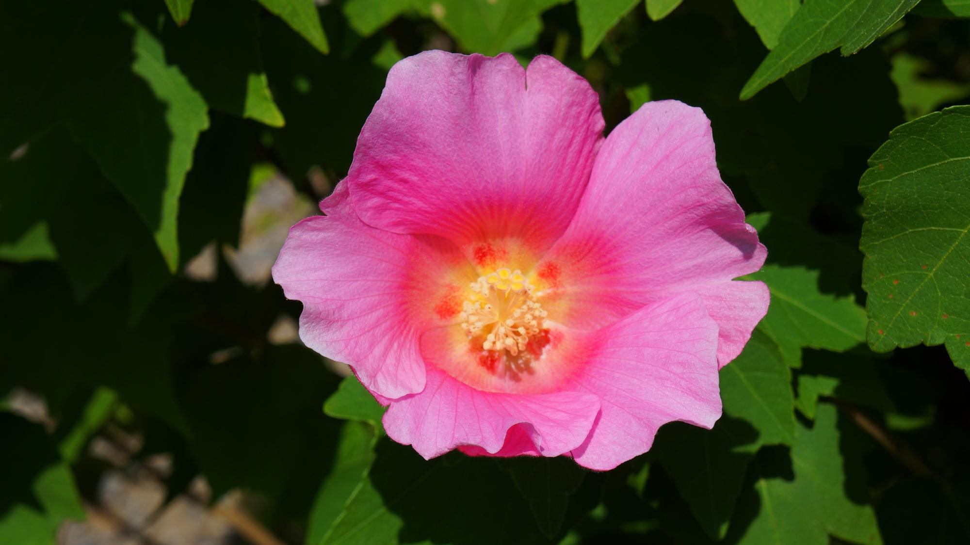 達磨寺の太陽を浴びて煌く満開の芙蓉の花