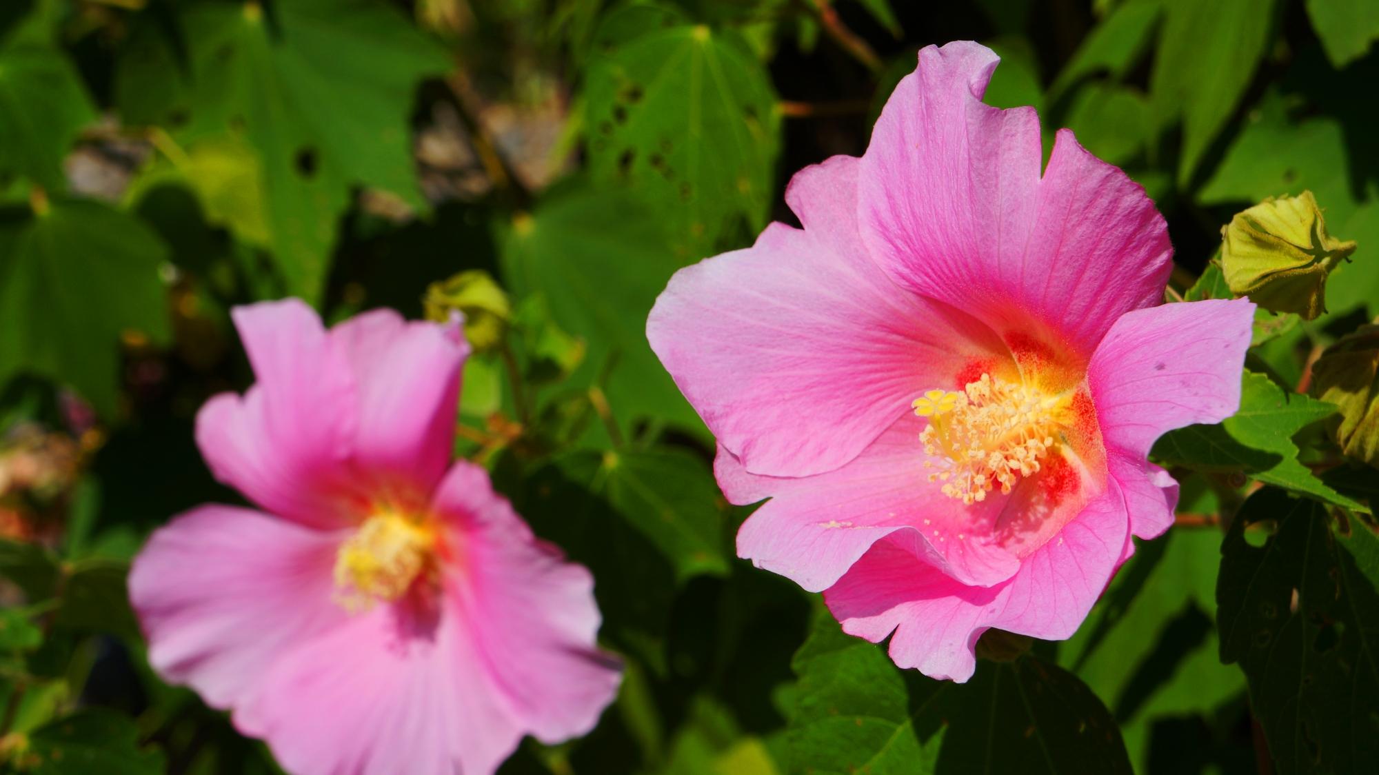法輪寺の夏の緑の中から溢れるピンクの芙蓉の花