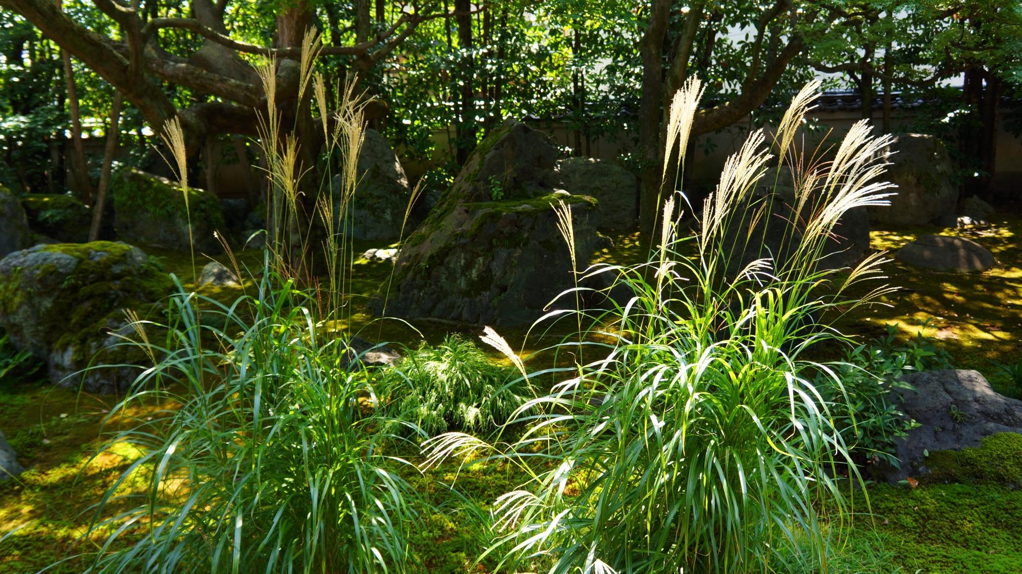 法輪寺(達磨寺)の庭園を演出する芒(ススキ)