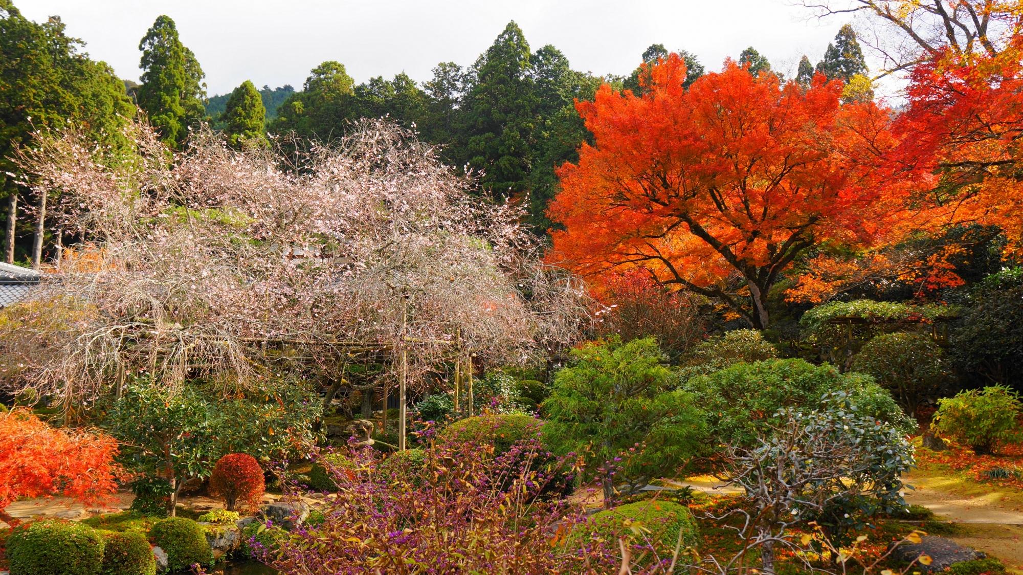 実光院 紅葉と不断桜 紅葉と桜を一緒に楽しめるお寺