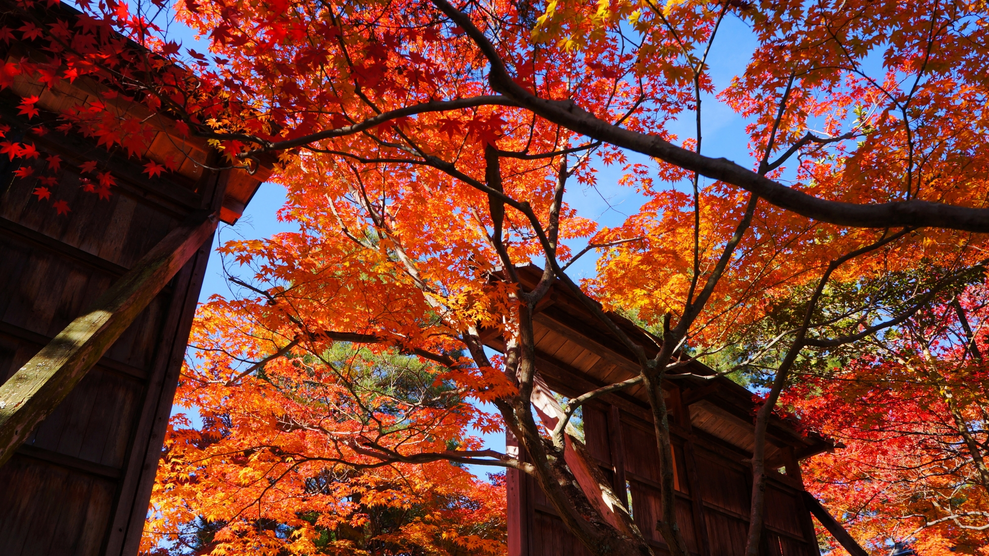 青空を彩る煌びやかな紅葉