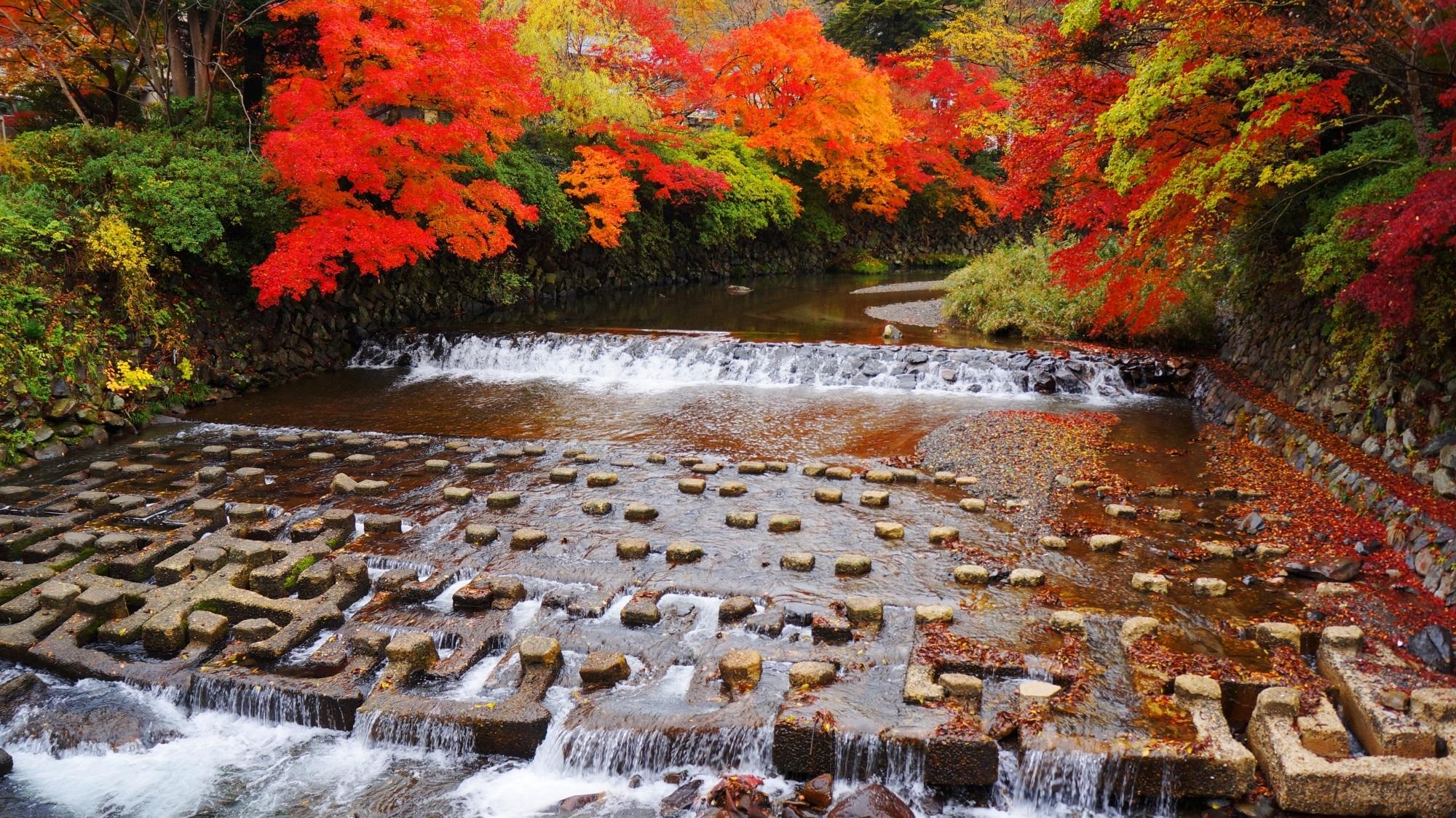 八瀬・高野川 紅葉 鮮やかな水辺の秋の彩り