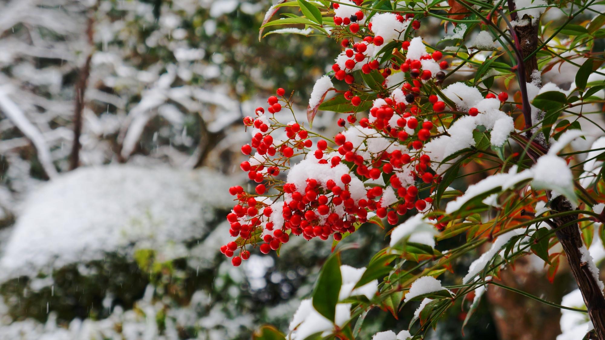 白い雪をかぶった赤い南天の実