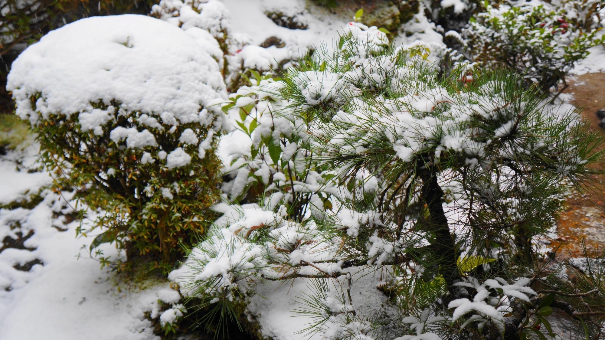 雪につつまれた詩仙堂のサツキの刈り込みや松