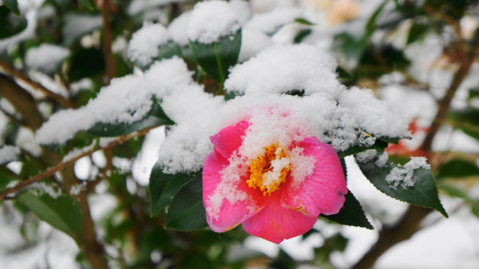 圓光寺の雪をかぶった椿の花