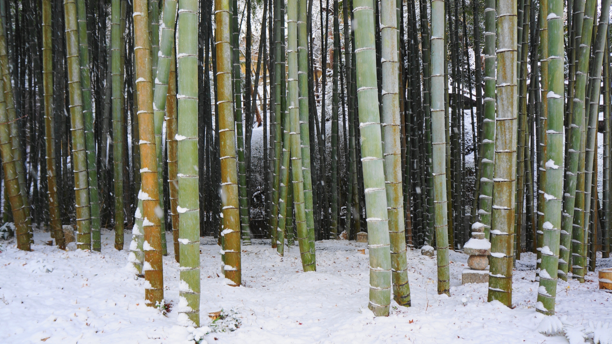 圓光寺の竹林の雪景色