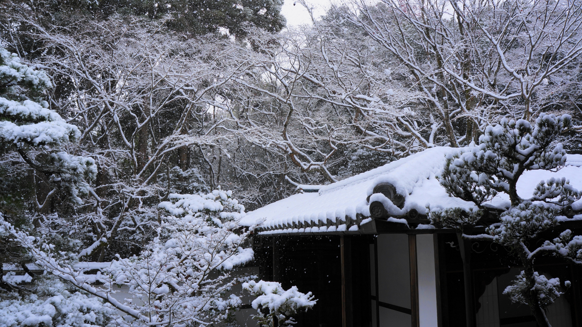 華やかな雪の花が満開の高桐院