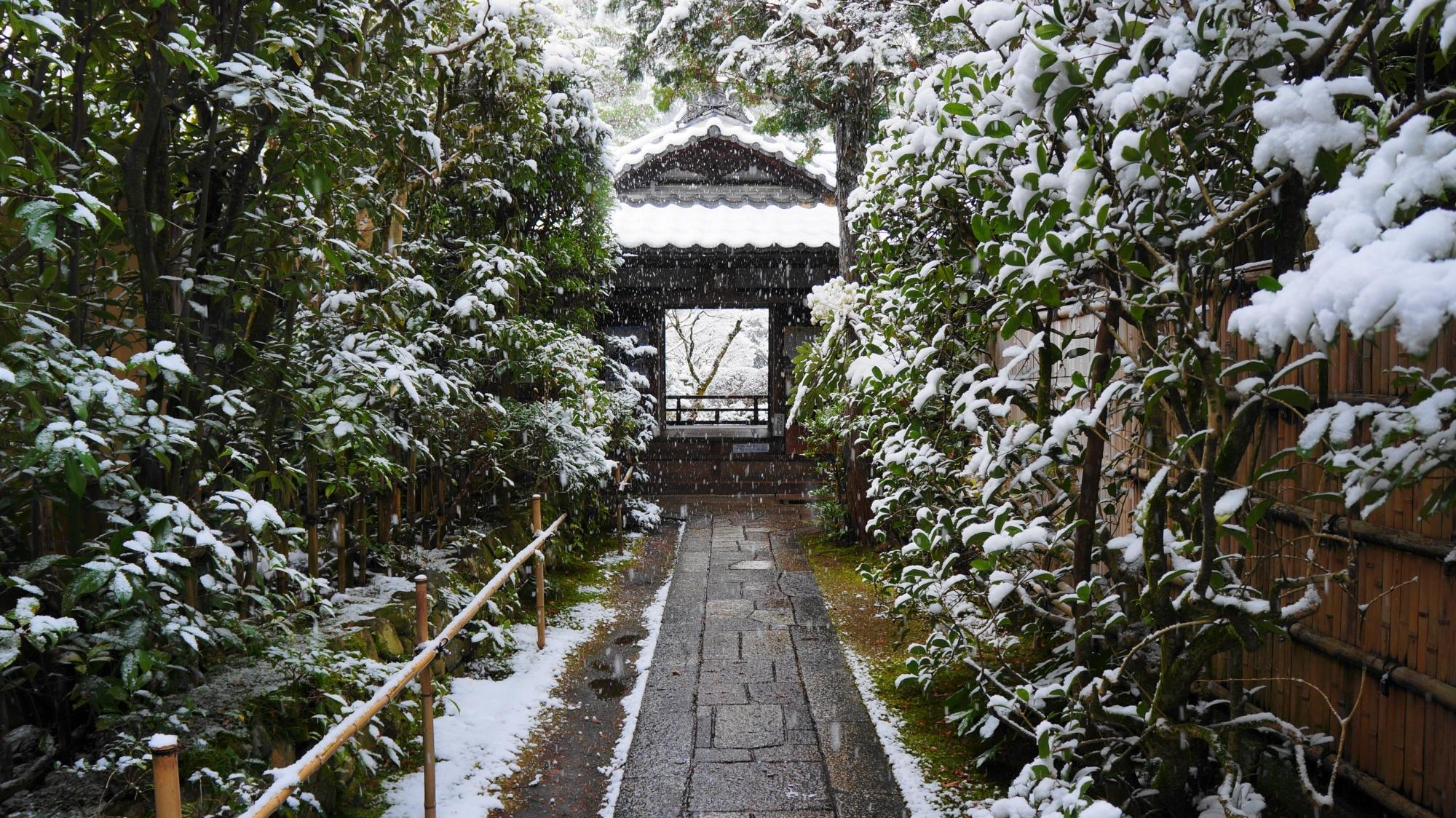 緑の葉に白い雪が積もる高桐院の玄関前の雪景色